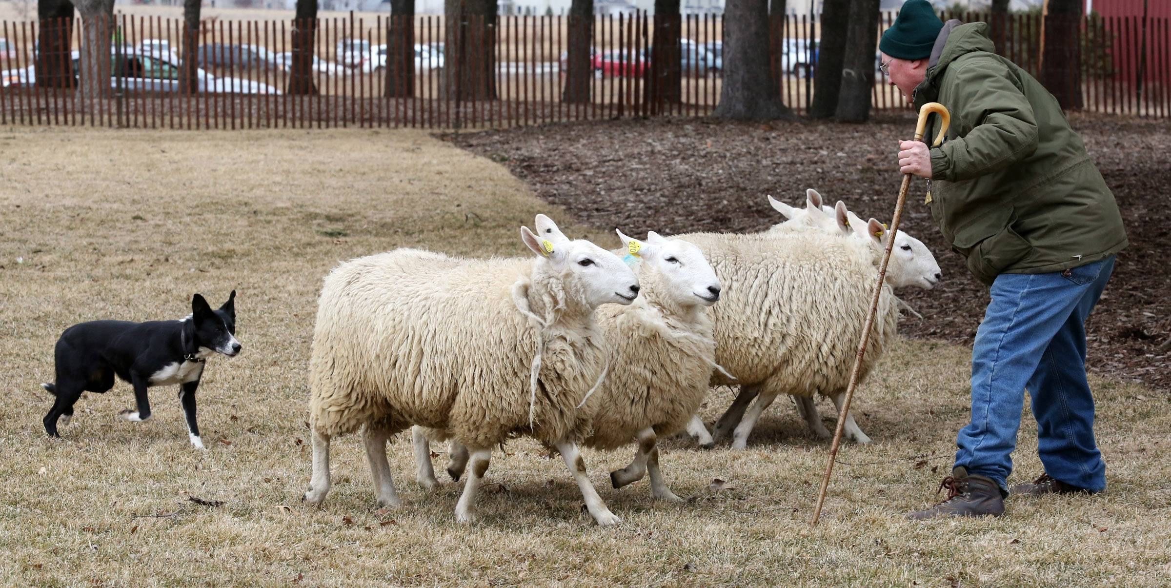 John Seraphine, of Sycamore, demonstrates how his five year-old border collie, Nell, herds north country cheviot sheep during Heritage Day at Peck Farm Park on Saturday in Geneva.