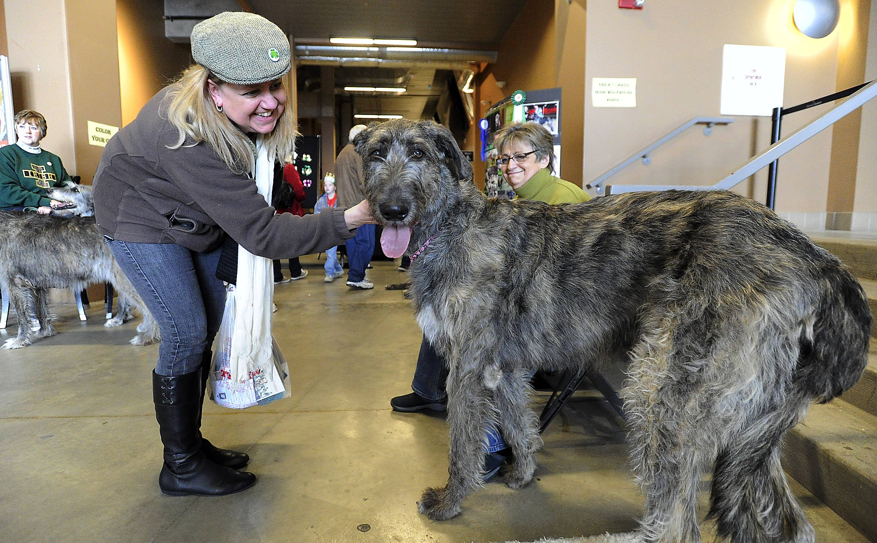 Suzy Finn, of Arlington Heights, pets Odetta the Irish Wolfhound, not quite a year old, at the third annual Northwest Celtic Fest at the Sears Centre on Saturday.