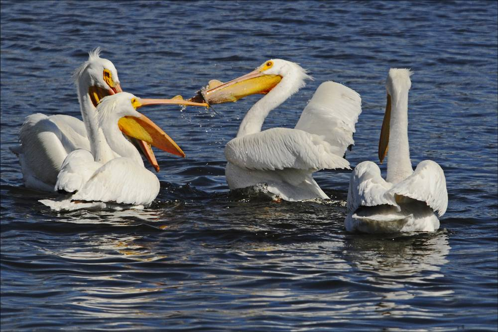 White pelicans have gathered on Fox Lake on their migration north