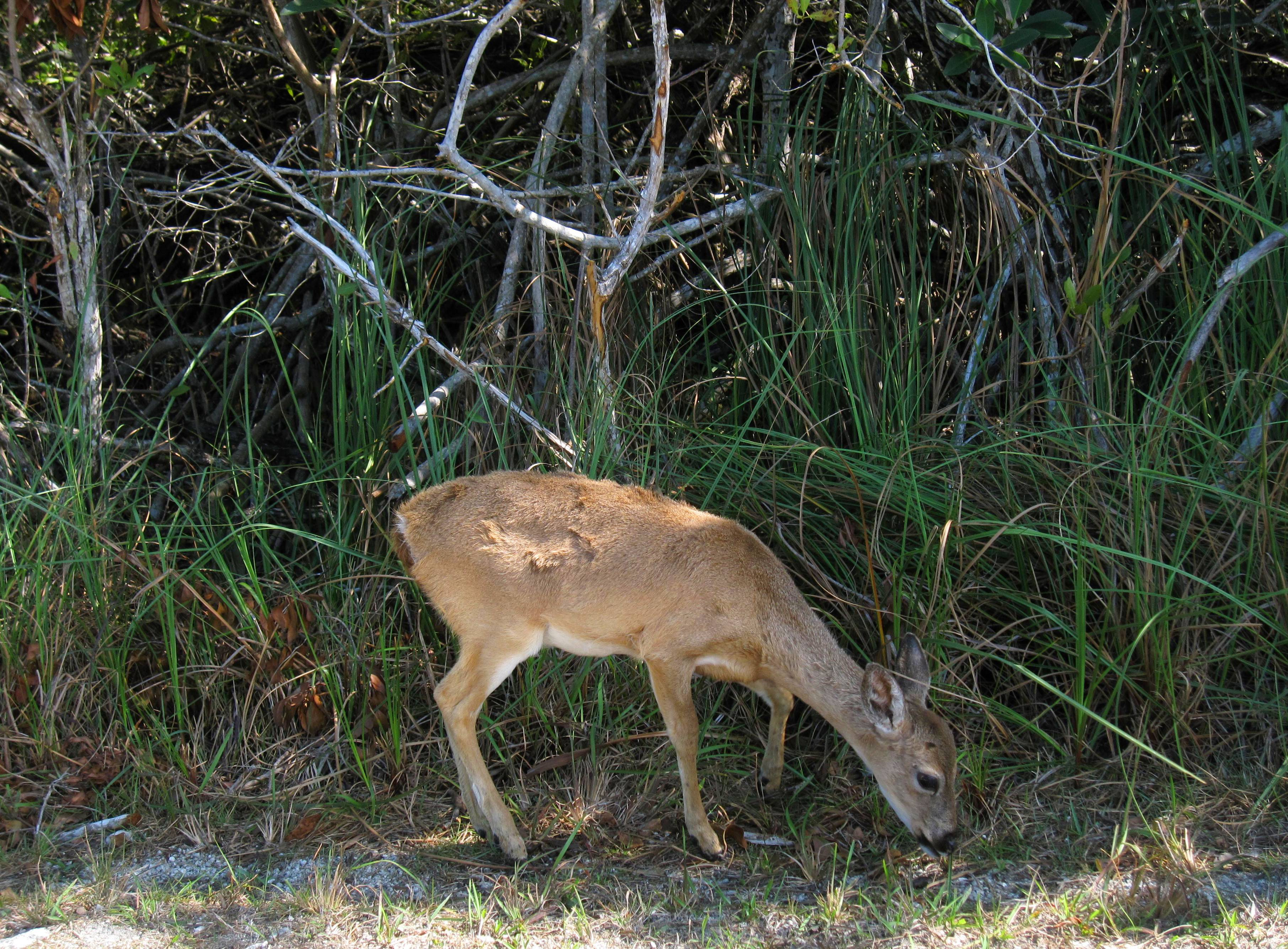 It's not unusual to spot the endangered Key deer by the side of the road or wandering on trails in the 8,000-acre National Key Deer Refuge in the vicinity of Big Pine and No Name Keys in Florida.