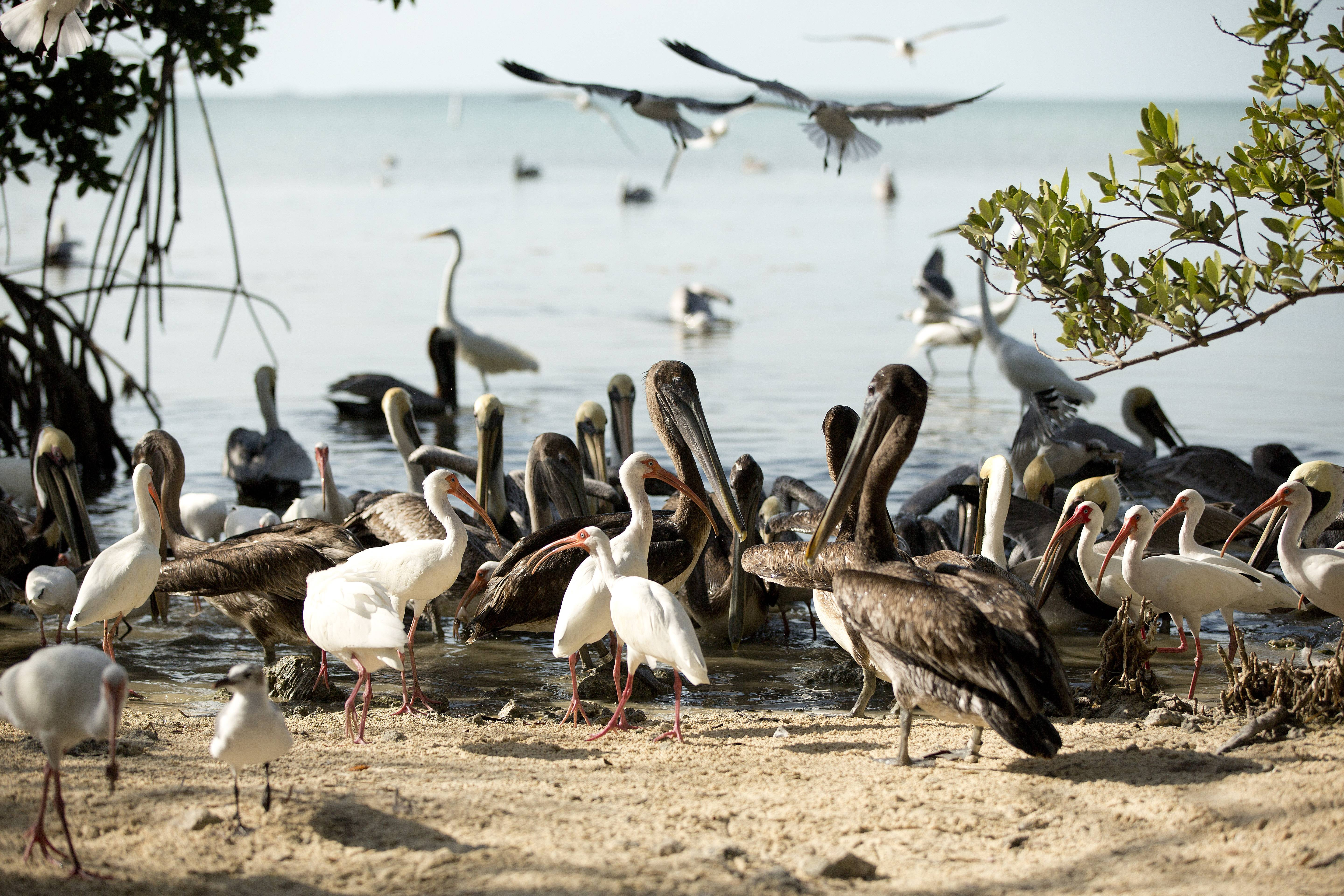 Birds roam the beach at the Florida Keys Wild Bird Center near Key Largo, Fla. The bird sanctuary accepts donations but has free admission.