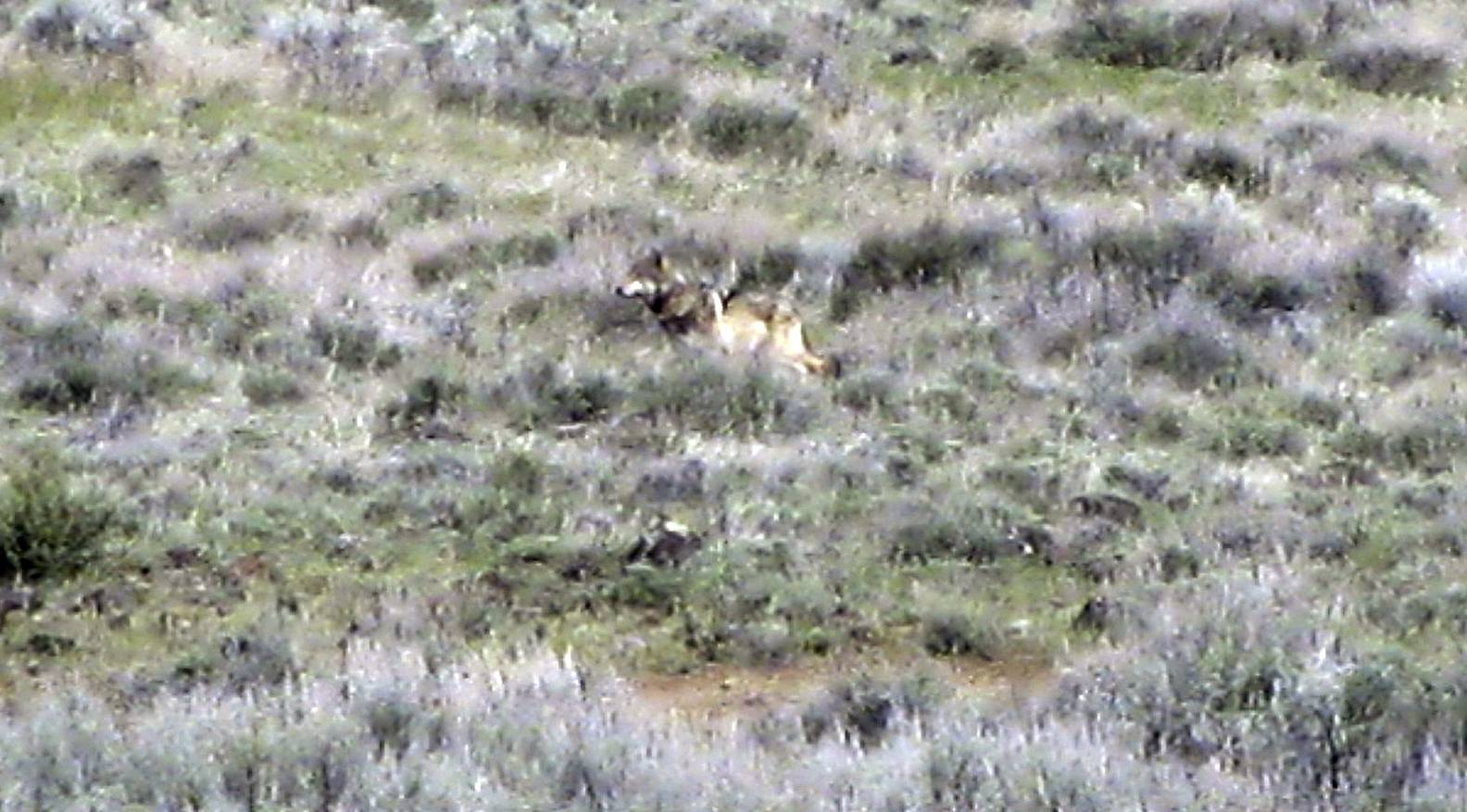 The Oregon wolf that has trekked across two states looking for a mate is seen in Modoc County, Calif.
