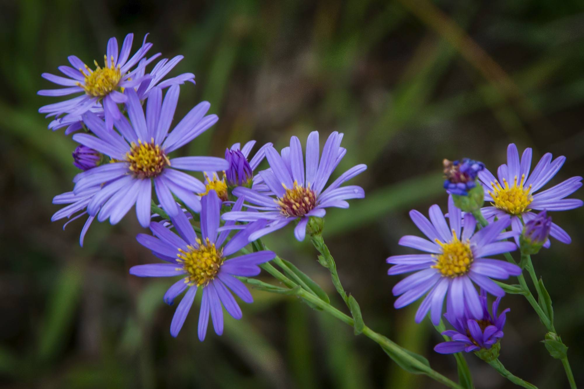 The New England Aster is just one the many native plants you will find at the Citizens for Conservation Native Plant, Shrub and Tree Sale scheduled for May 3-4 in Barrington.