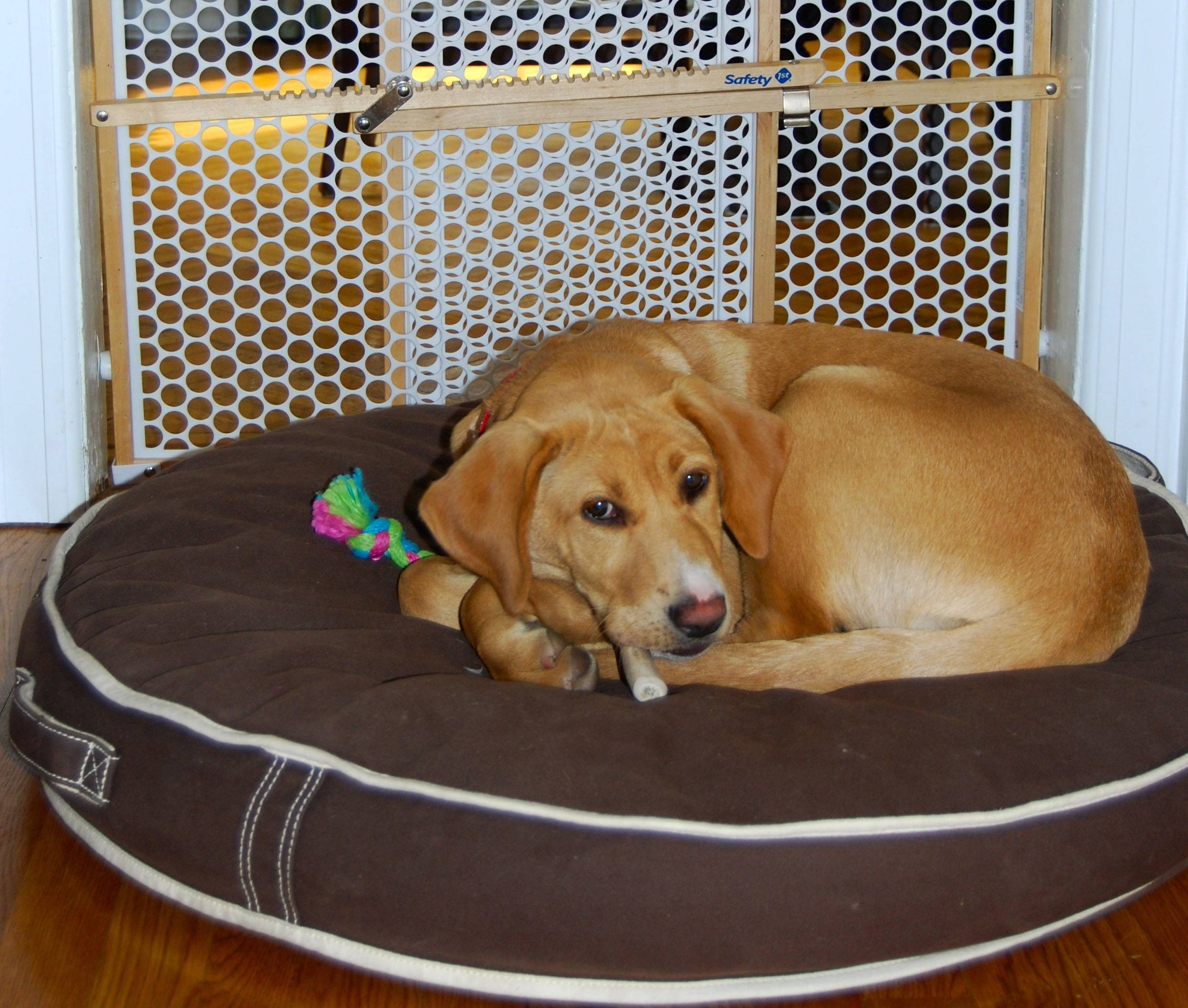 A puppy rests by a gate that prevents her from entering a formal dining room where there are fragile items and furniture with sentimental value. Experts advise puppy-owners to gate off rooms where they don't want their puppy to roam.