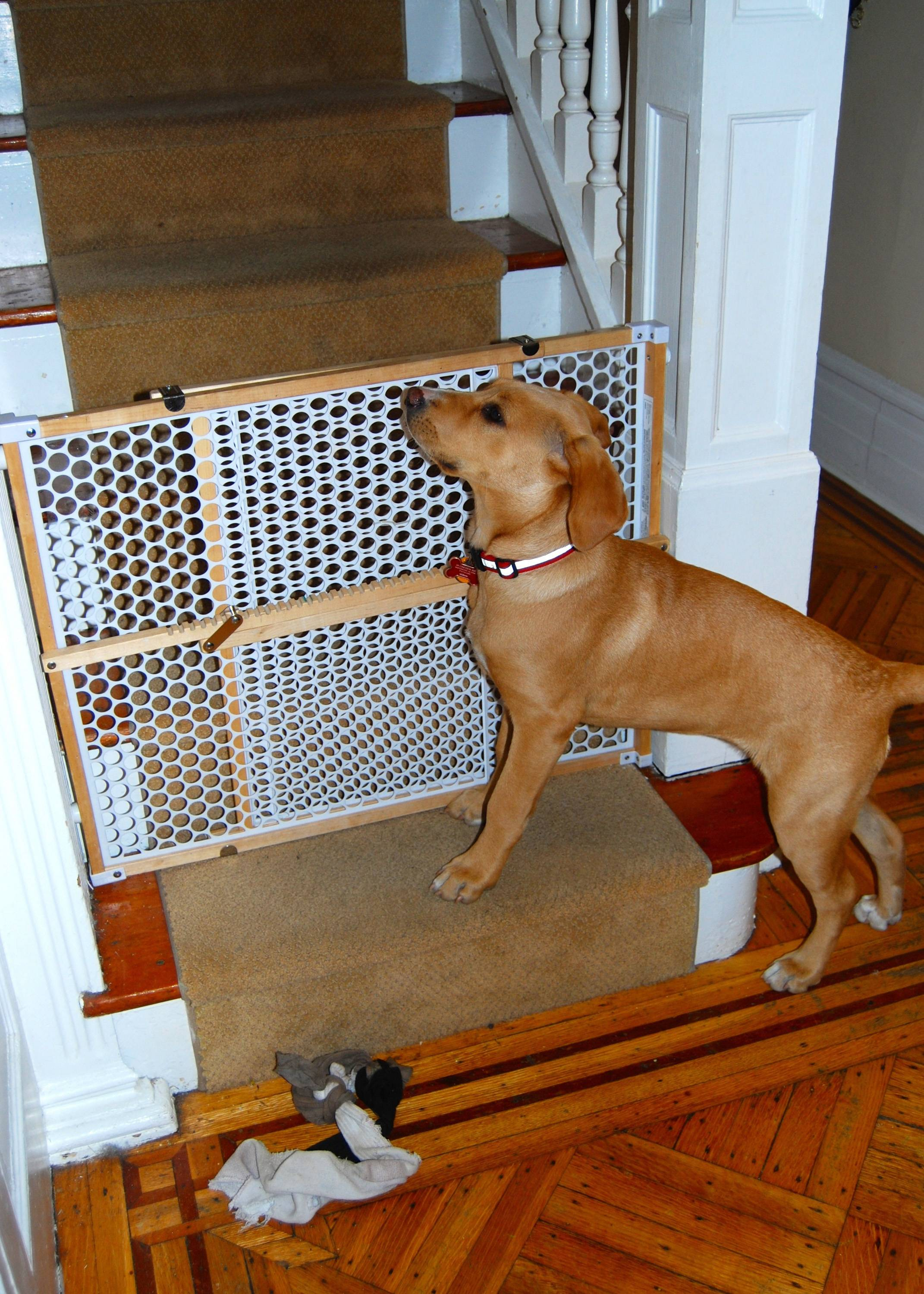 A puppy waits by a gate for children to come downstairs from their bedrooms in the morning. The gate prevents the puppy from going to the second floor, where she is not yet allowed.