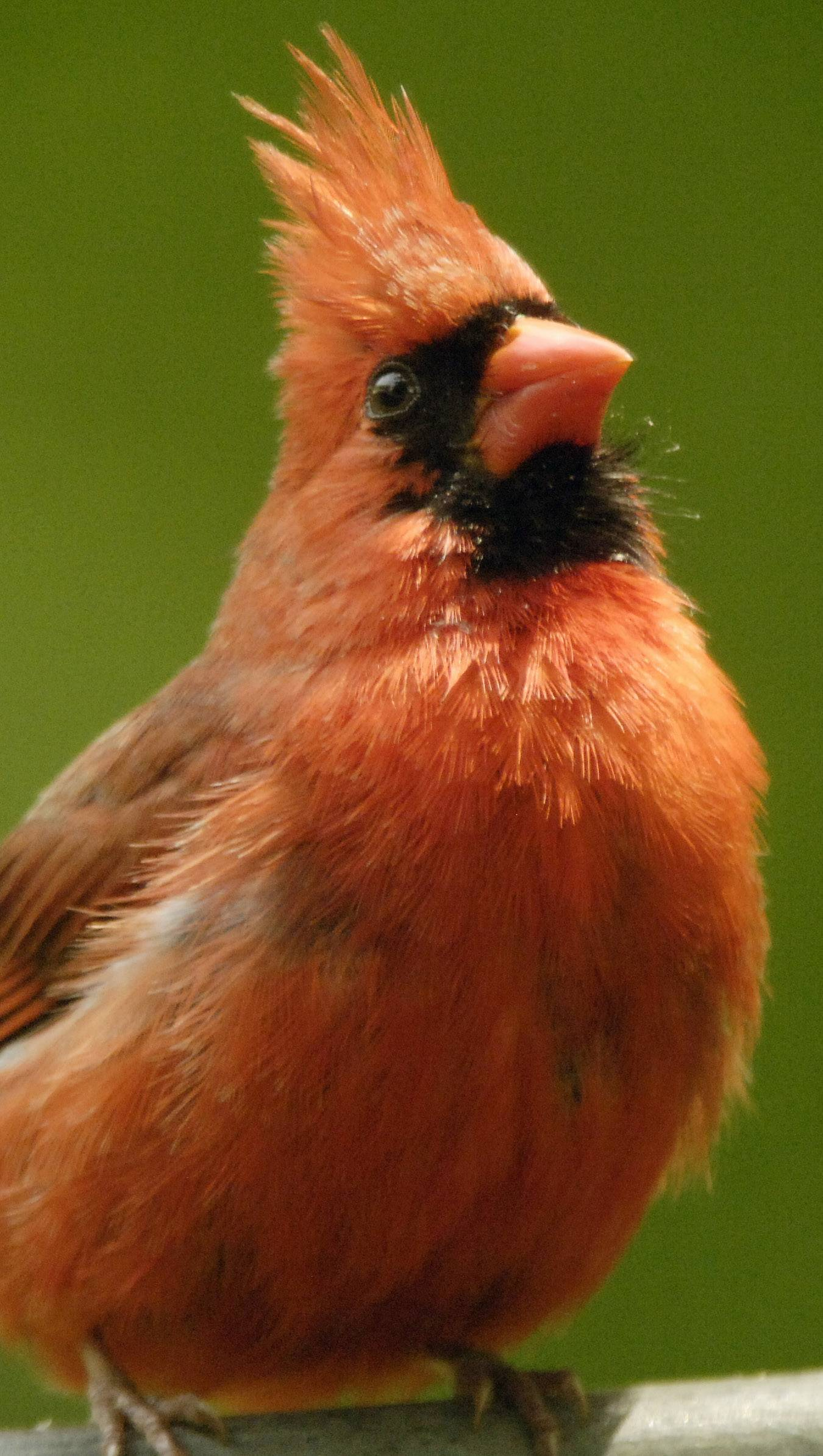 Songs of Illinois' state bird, the cardinal, herald the coming of spring.