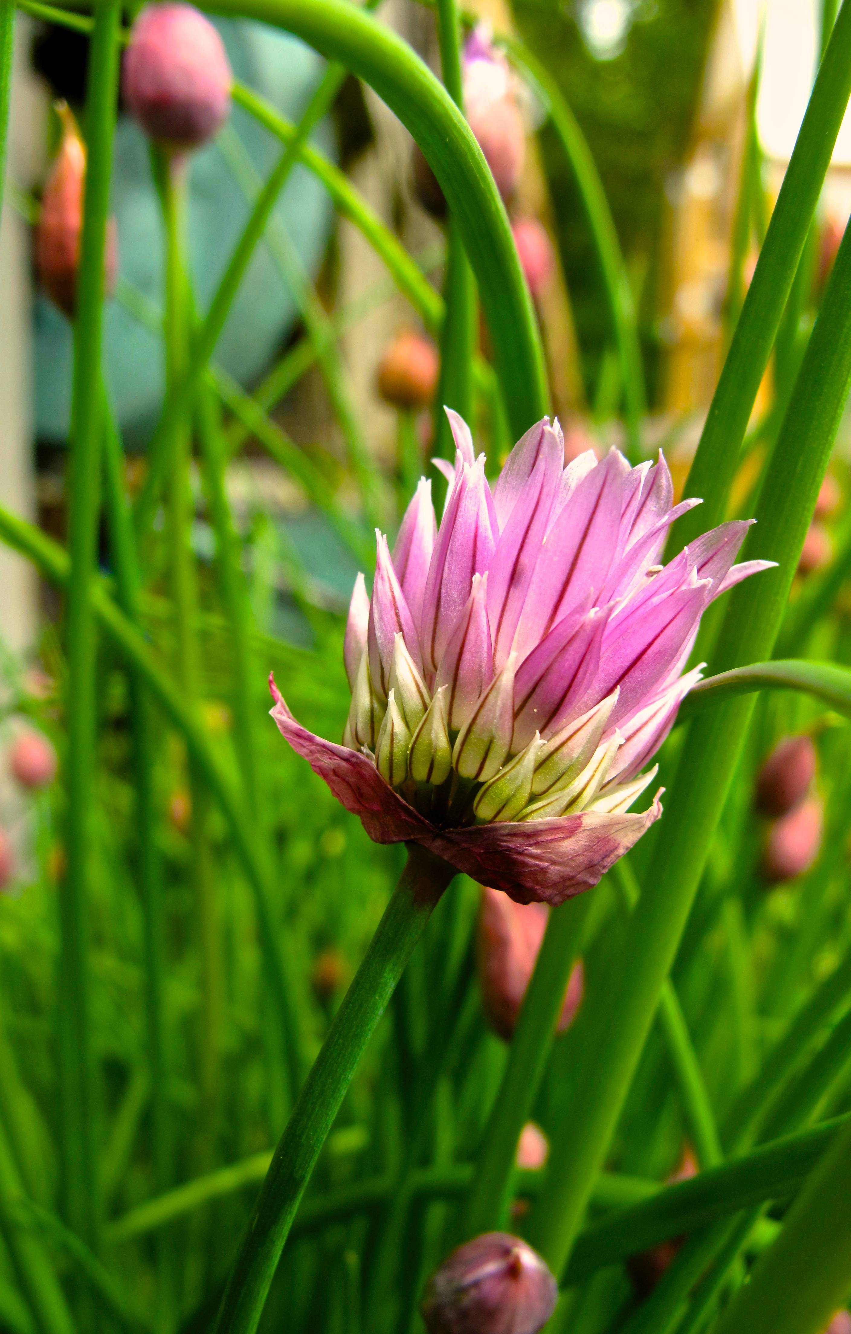 They are lovely to look at but the plant's flavor, like this chive, declines and changes once it begins to flower. Extend the harvest by pinching back the plants to keep them from blooming.