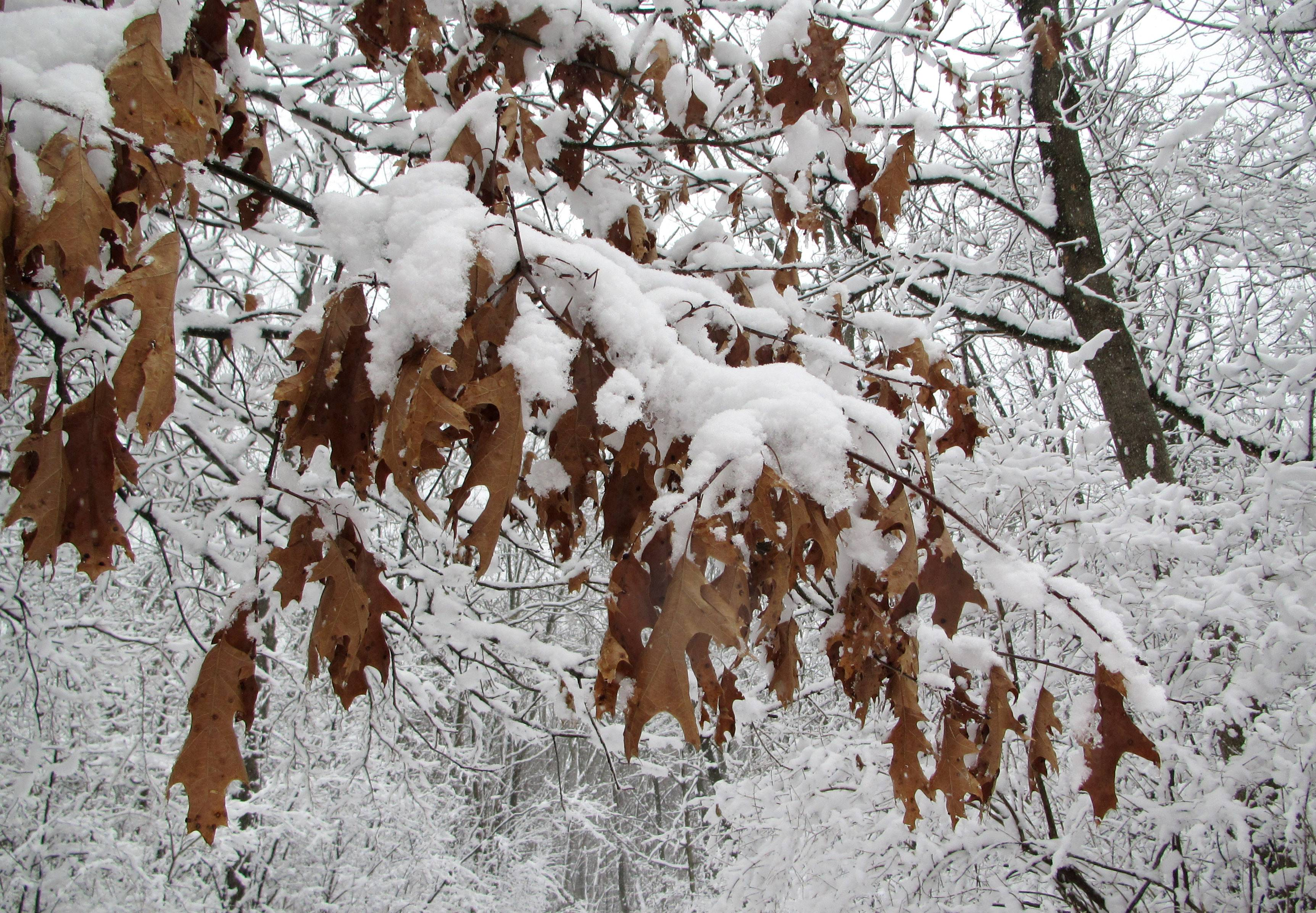 Snow blankets oak leaves still hanging from branches at LeRoy Oakes Forest Preserve in St. Charles. Readers asked naturalist Valerie Blaine why some trees don't lose all of their leaves in the winter.