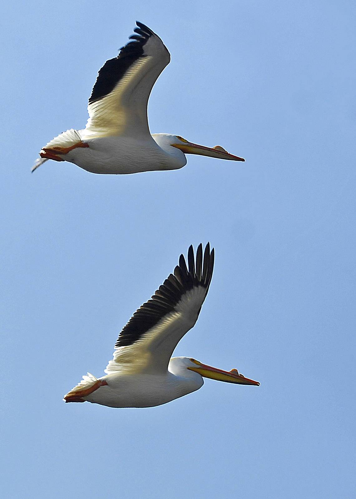 A pair of pelicans flies near Nelson Lake at the Dick Young Forest Preserve in Batavia. According to Valerie Blaine, pelicans have appeared in the spring for several years at this site. A reader wants to know when we can expect the pelicans to show up this year.