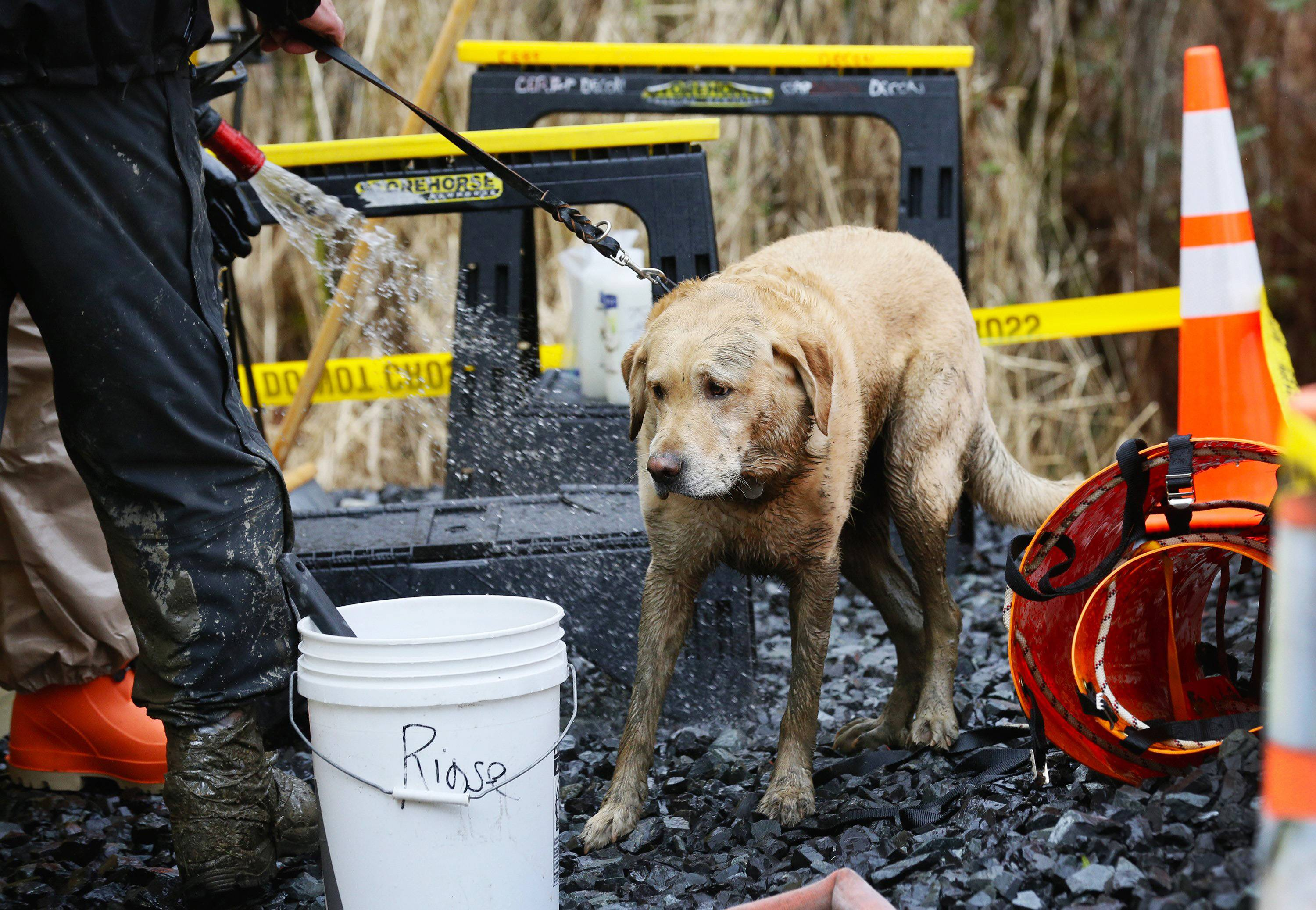Rescue dog Nexus, muddy from working onsite, is decontaminated by a hose after leaving the west side of the mudslide Sunday in Arlington, Wash. Periods of rain and wind have hampered efforts the past two days.
