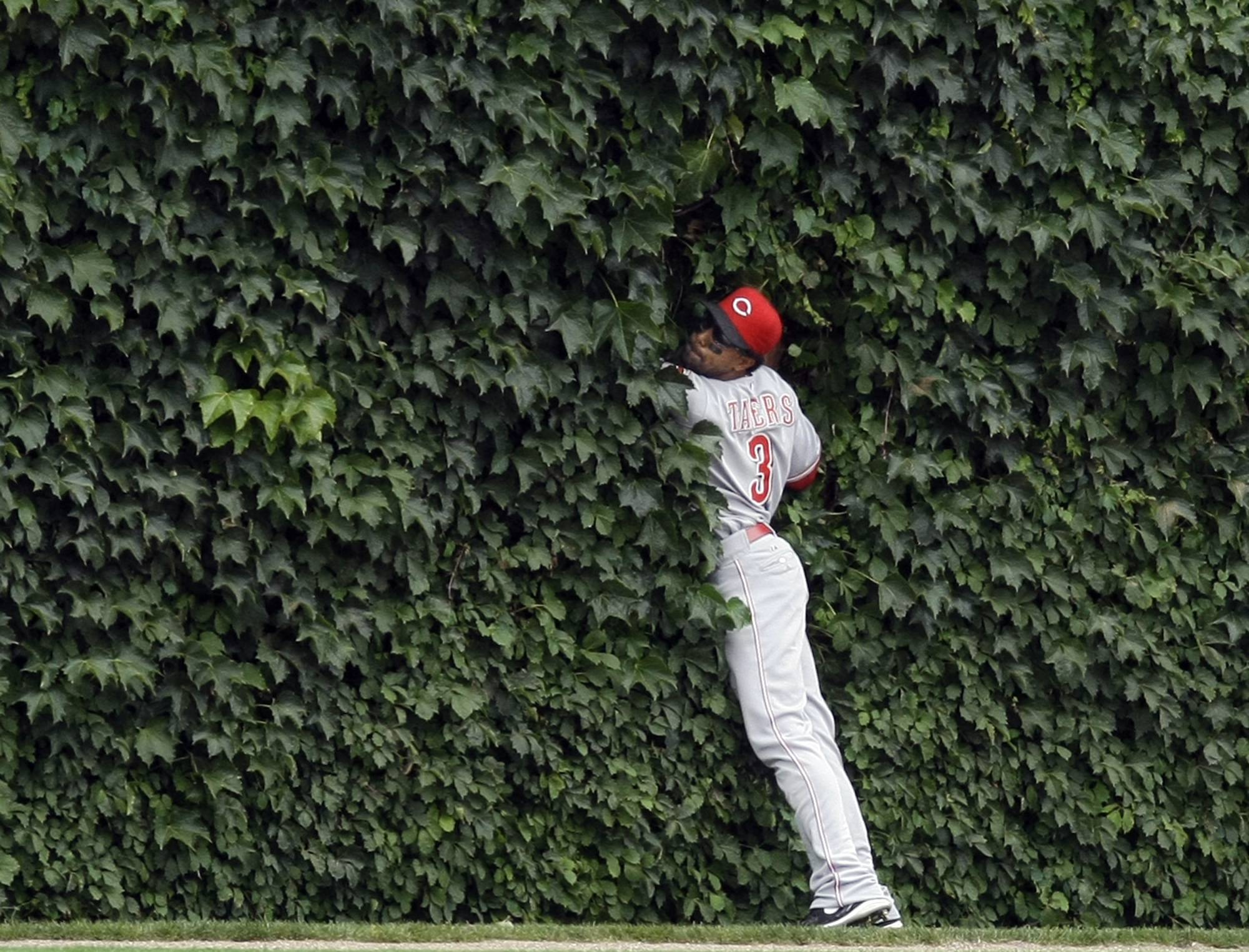 Cincinnati Reds center fielder Willy Taveras is almost lost in the ivy after catching a long fly ball during a baseball game against the Chicago Cubs at Wrigley Field in Chicago. One ball flies into Wrigley Field's ivy-covered wall and two pop out. It's happened a few times over the years, the result, some say of balls being hit there during batting practice and remaining there until something slams into the wall to dislodge it. But there are also stories that players hid balls there in case they needed to find one quickly to throw a runner out.