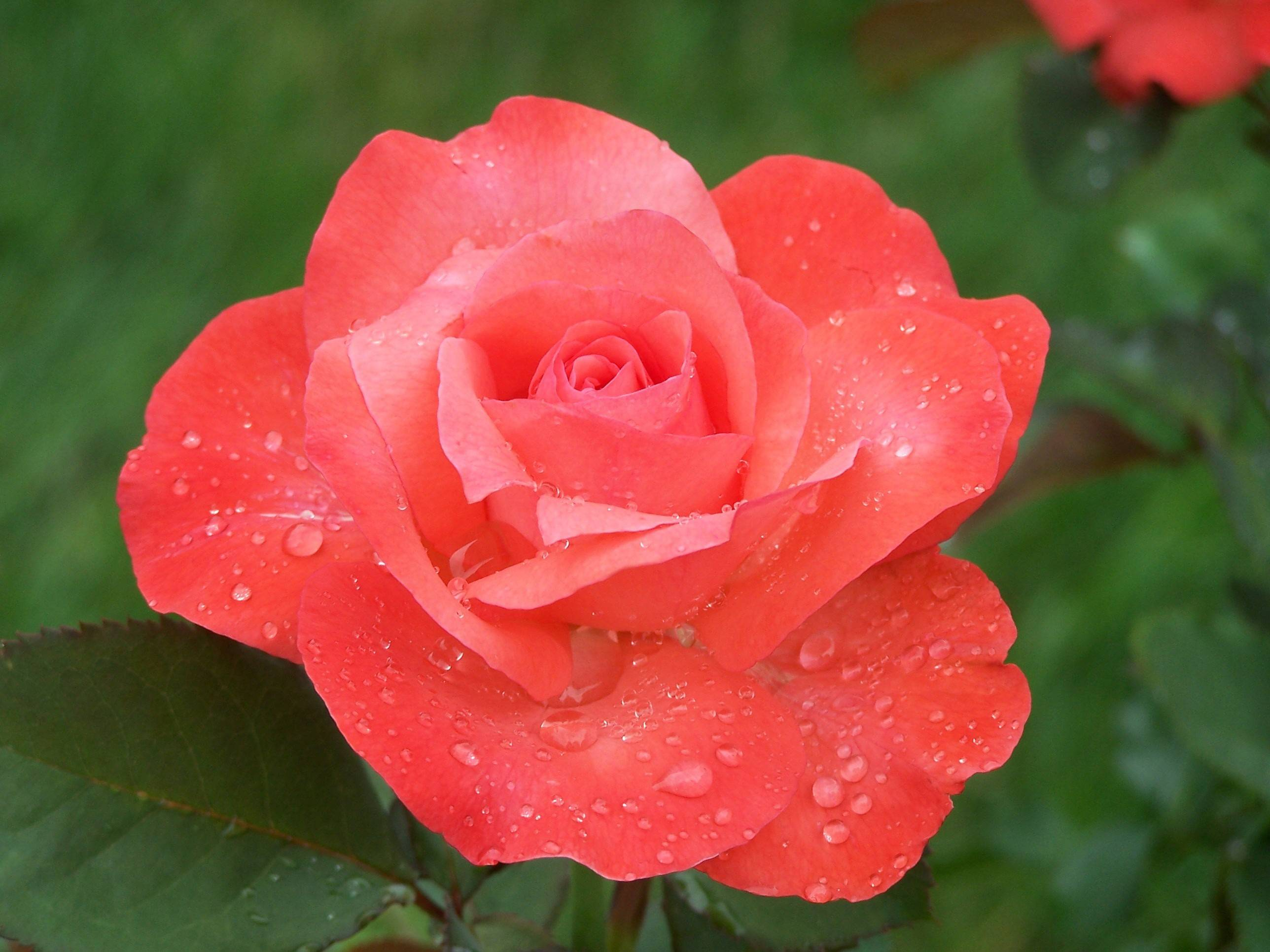 Pruning hybrid tea roses vigorously now will promote lots of beautiful flowers.