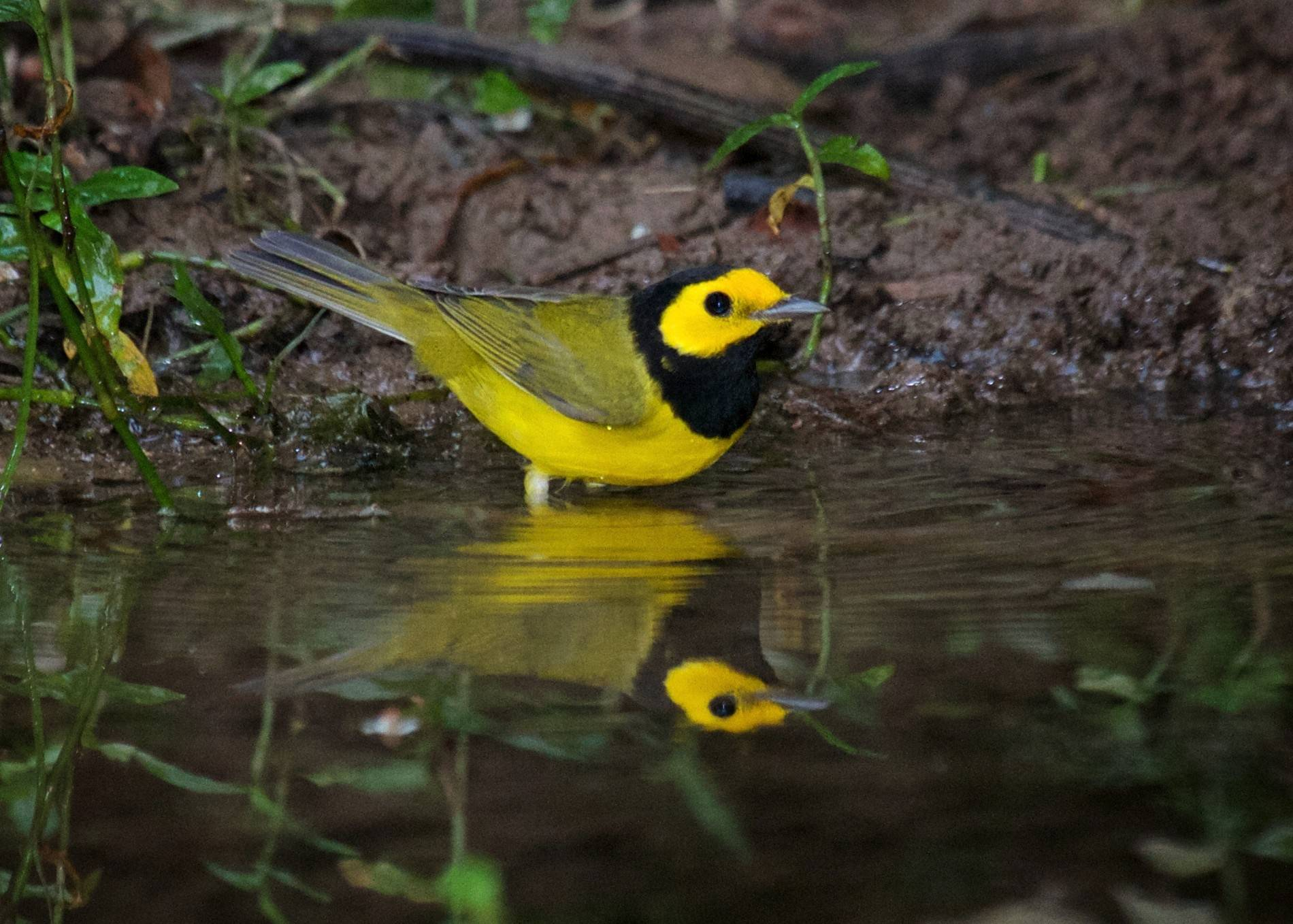 The male hooded warbler is unmistakable and also personally meaningful to Jeff Reiter. It's the species that triggered his interest in birds and birding back in 1994.