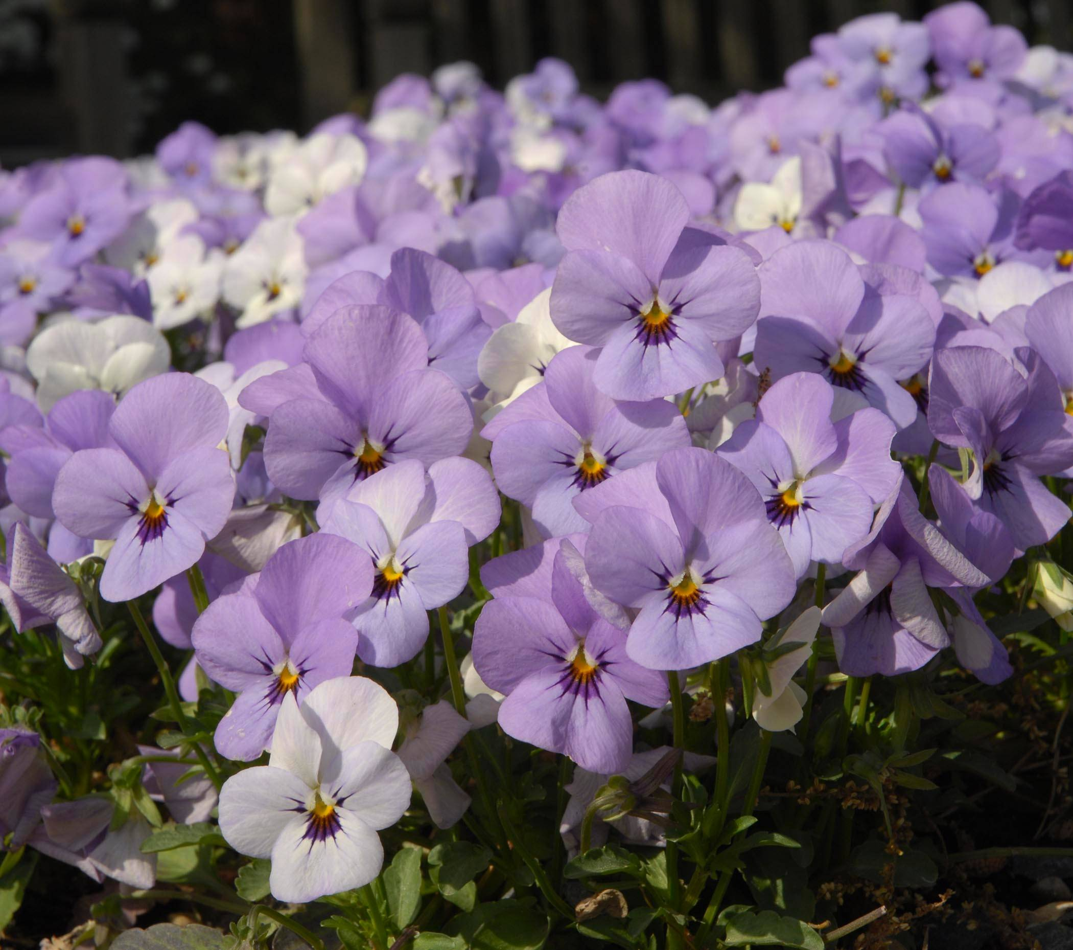 Plant cool-season annual flowers, such as these pansies, in early April to add color to your garden.