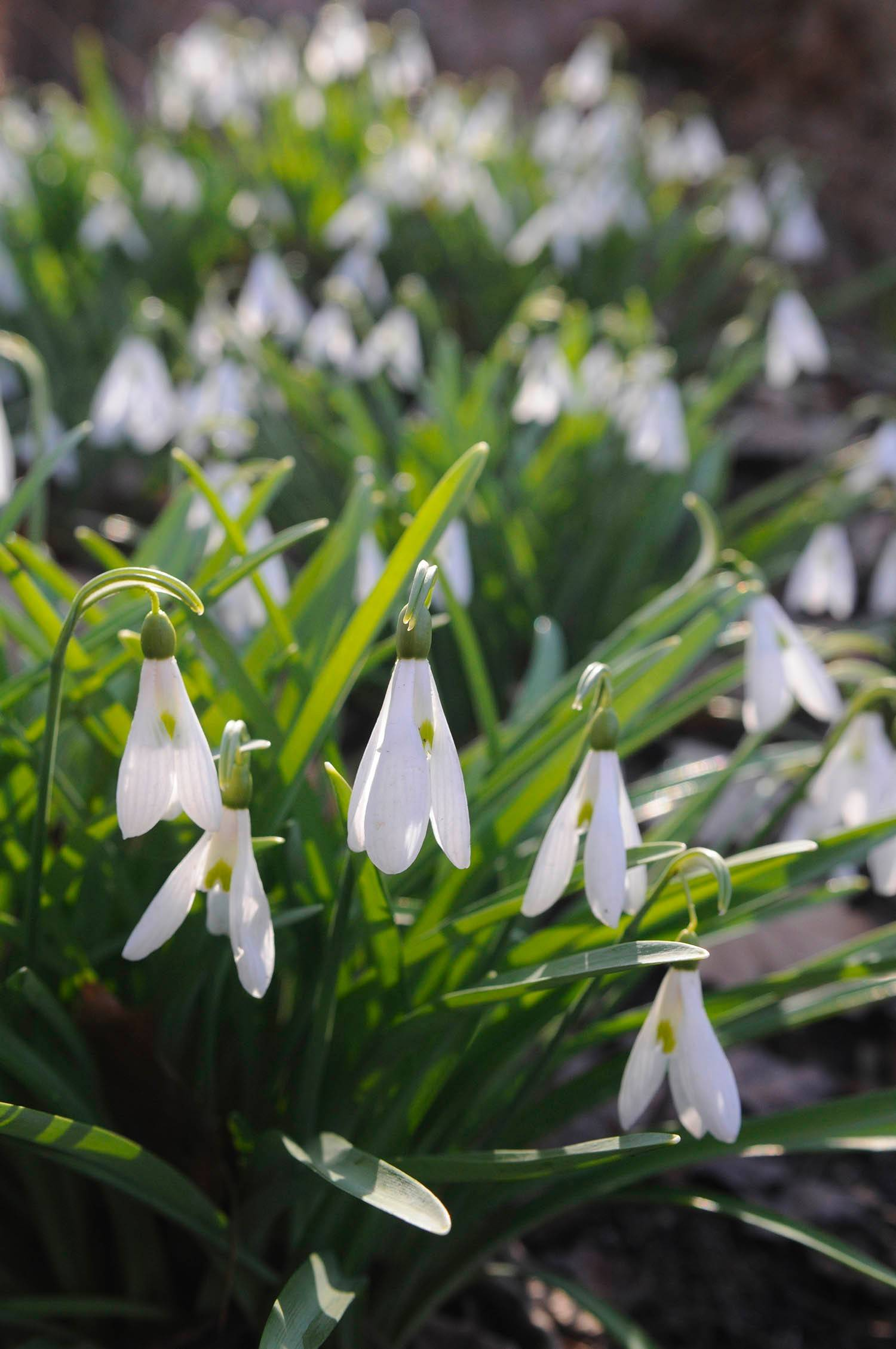 Snowdrops can tolerate a bit of frost. The Chicago Botanic Garden in Glencoe has had these small bulbs as early as late February.