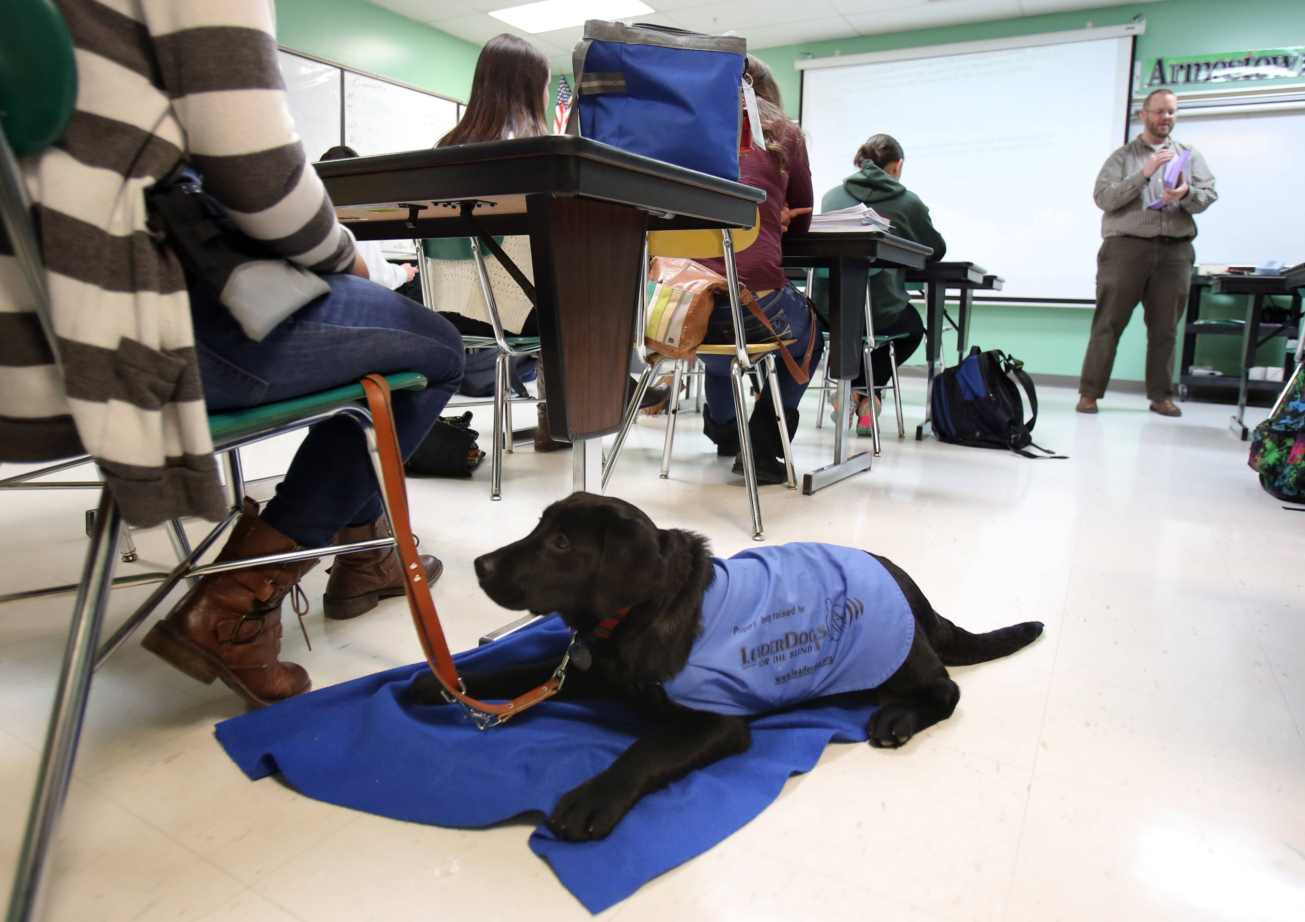 Bailey the puppy has to learn to lie quietly while in class at Grayslake Central High School and not be a distraction.