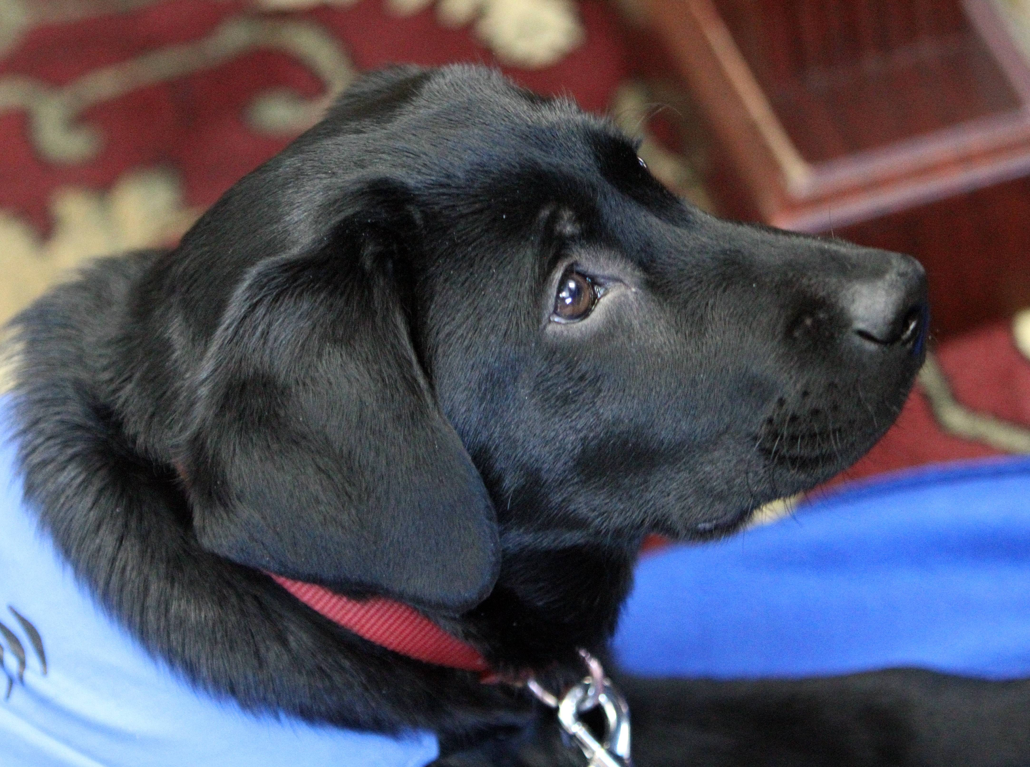 Bailey, a 5-month-old black Labrador, keeps her eyes fixed on Grayslake Central High School junior Abby Perkowitz. She received permission to use the school as part of Bailey's training to become a guide dog.