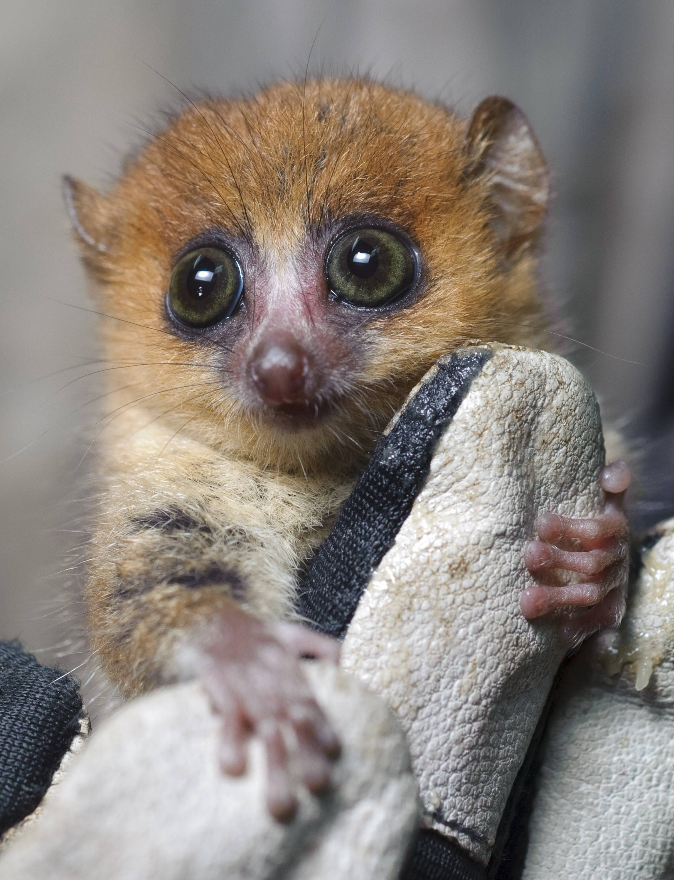 "A mouse lemur is one of many species of primates to be found on ""Island of Lemurs: Madagascar."""