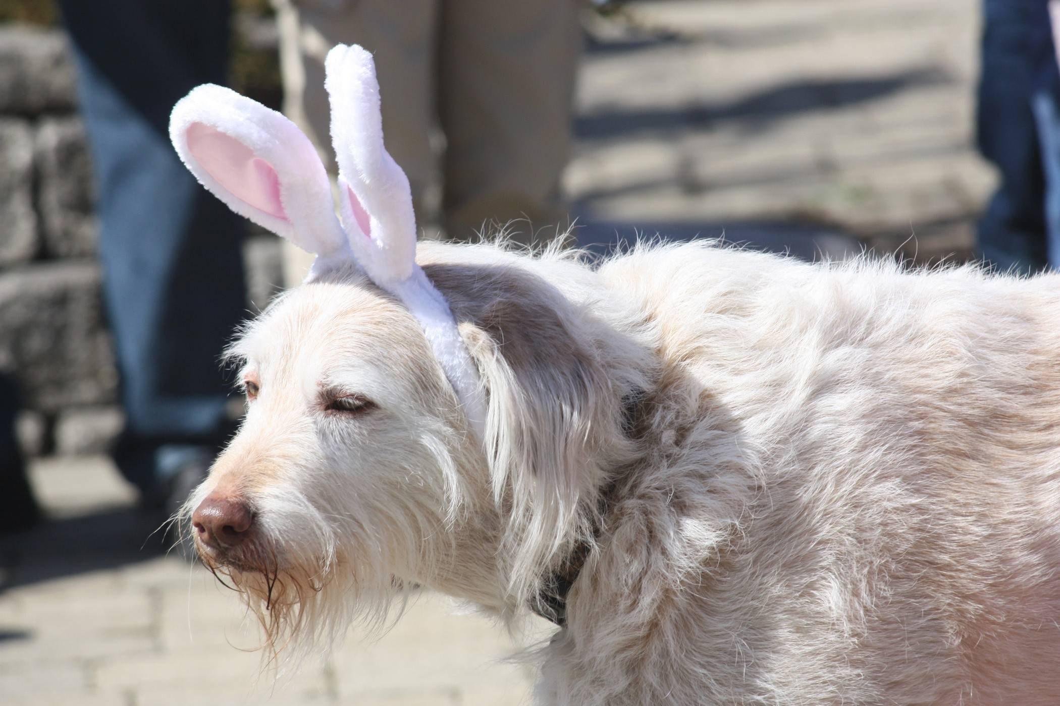 Dress up your dog -- or not -- for Palatine's Hound Egg Hunt.