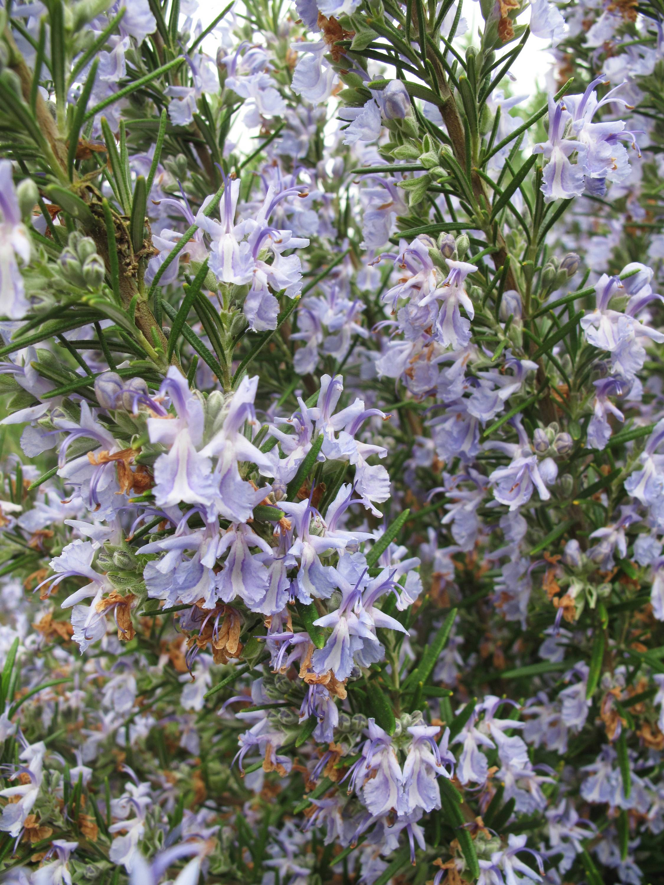 Many herbs, like this Rosemary plant, are attractive to look at as well as to taste. You can use them as a garnish or fragrant centerpiece on the dining room table.