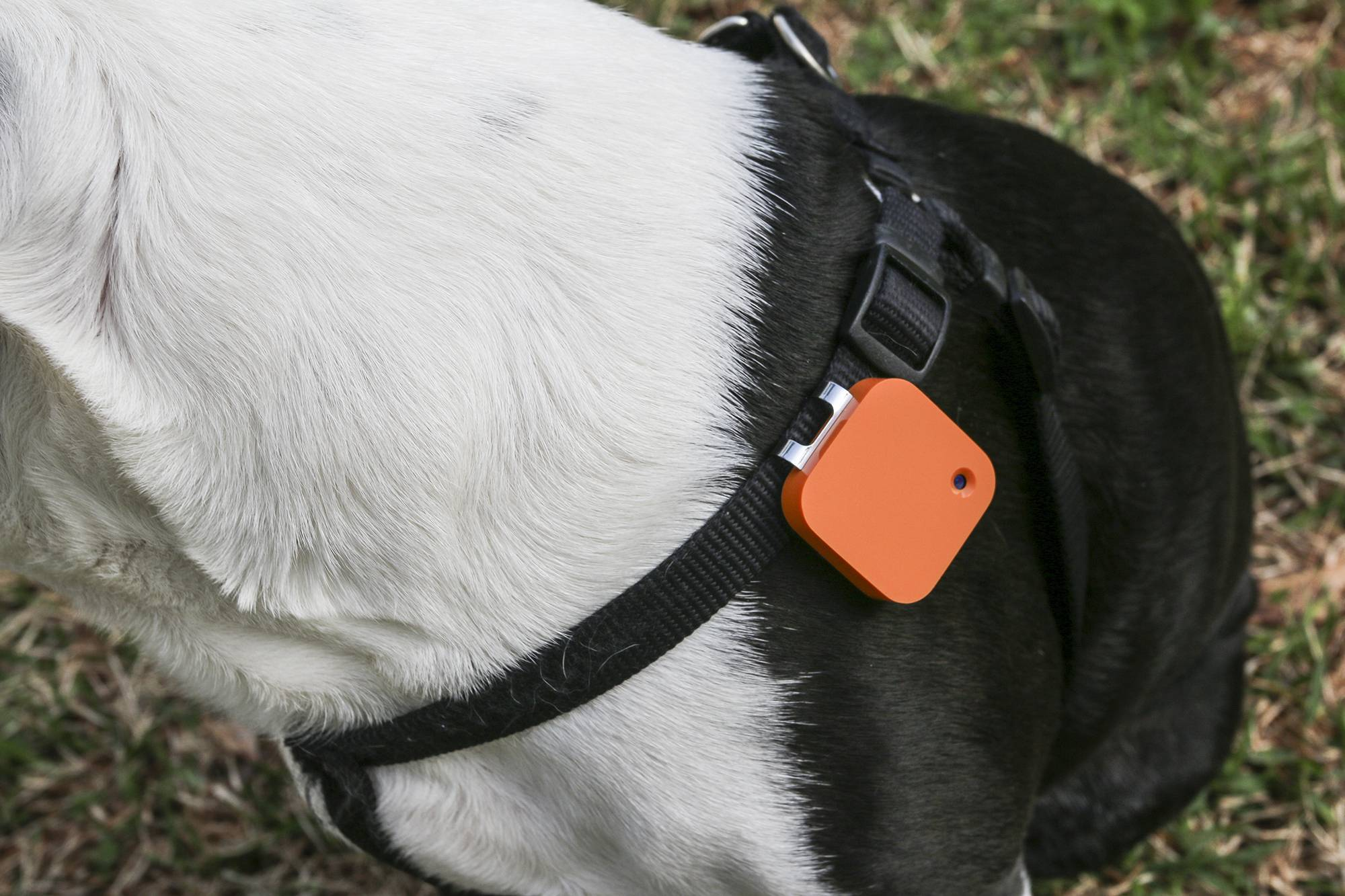 A dog wears a Narrative Clip life-logging device on Wednesday, April 2, 2014 in Decatur, Ga. The small, wearable camera takes a photo automatically every 30 seconds.
