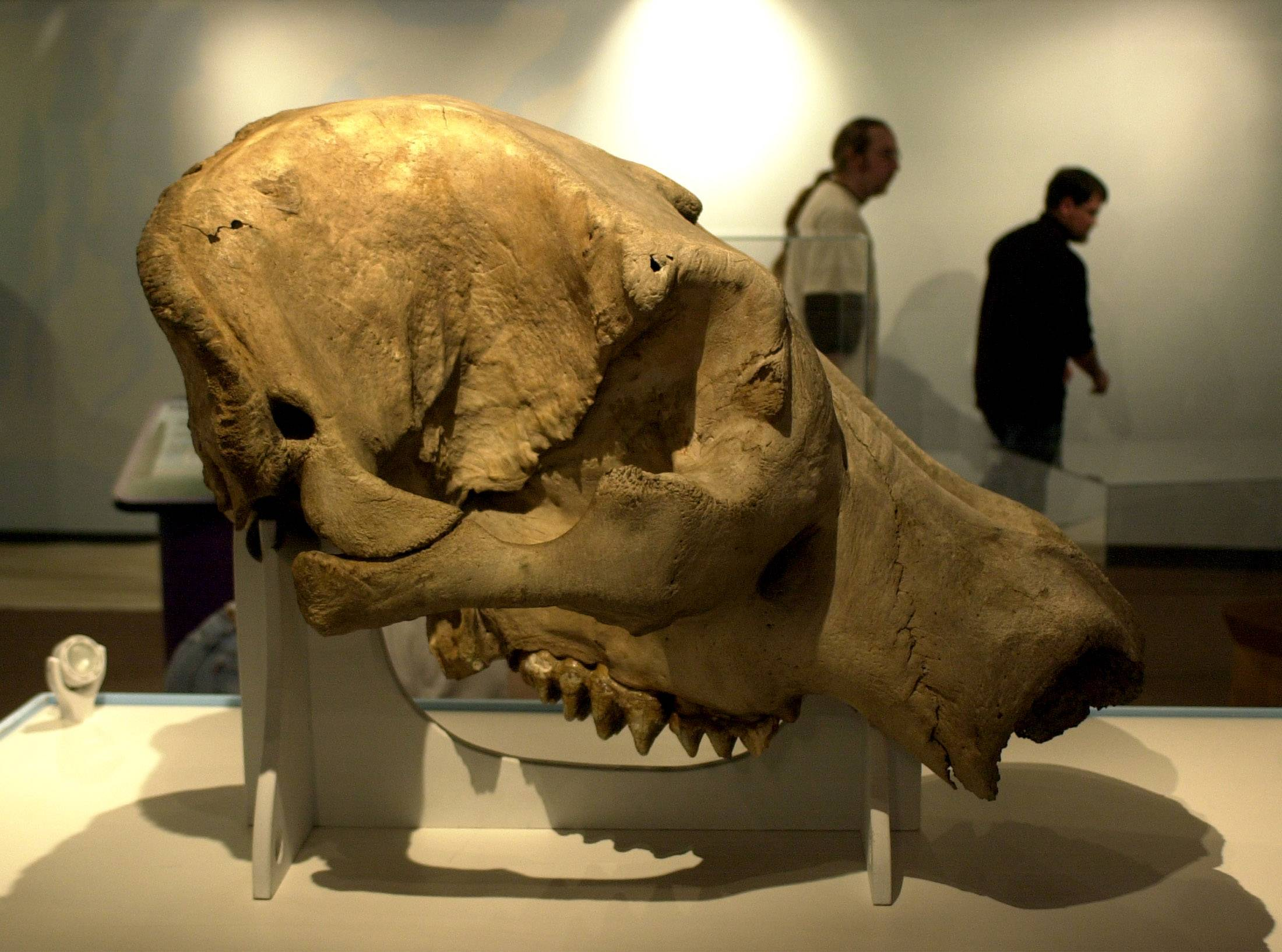 A 2003 display of mastodon bones at the Lake County Discovery Museum included a skull.