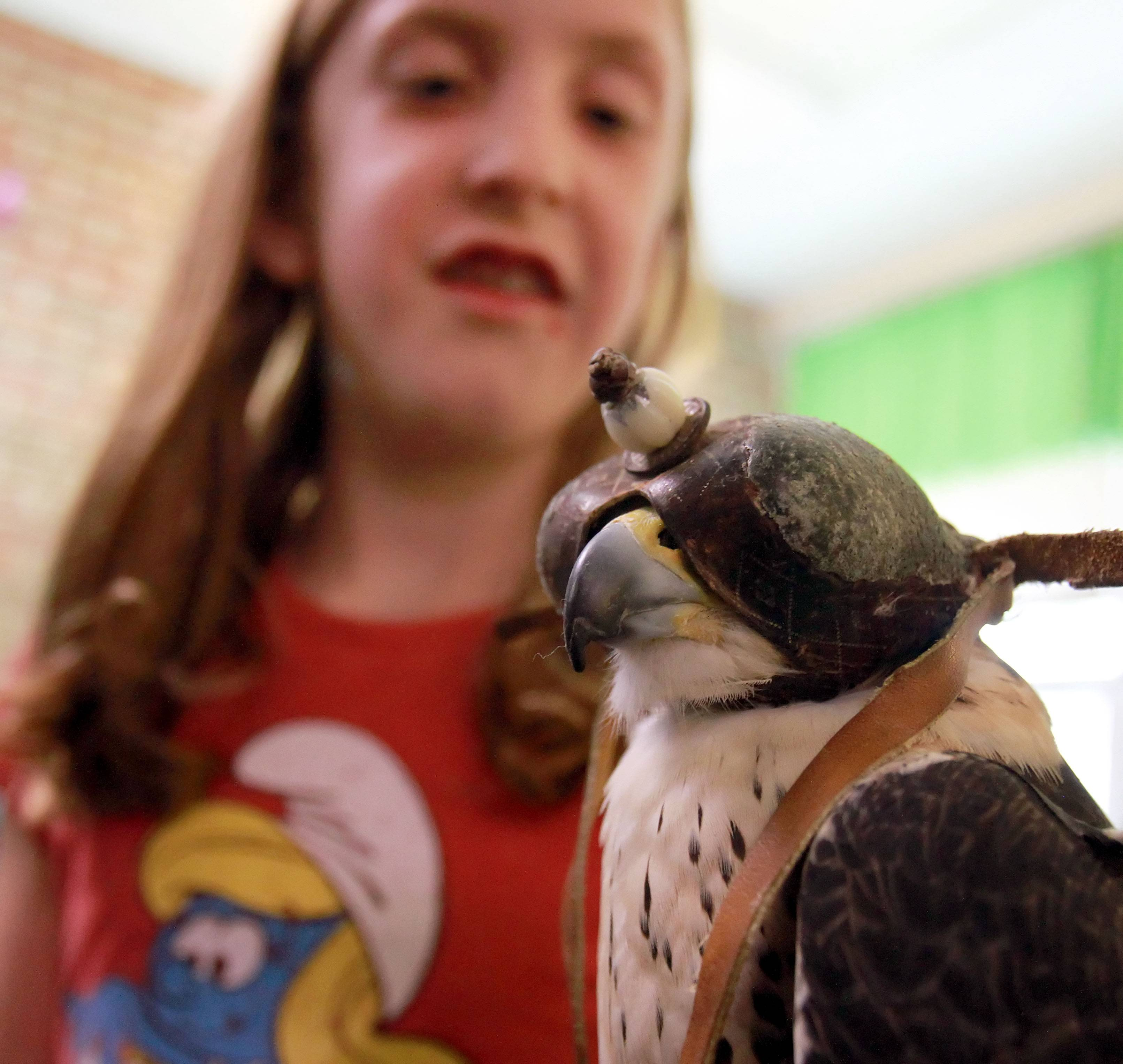 Rockland School third grader Emily Coughlin holds Alvin, a peregrine falcon, during a visit from Craig Hendee, director of the International Heritage Conservancy, in Libertyville Friday.