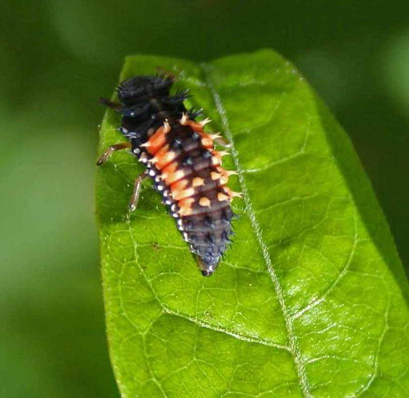 Young ladybug larvae, which are black with orange markings, feast on aphids, thrips, mealybugs and scale insects.