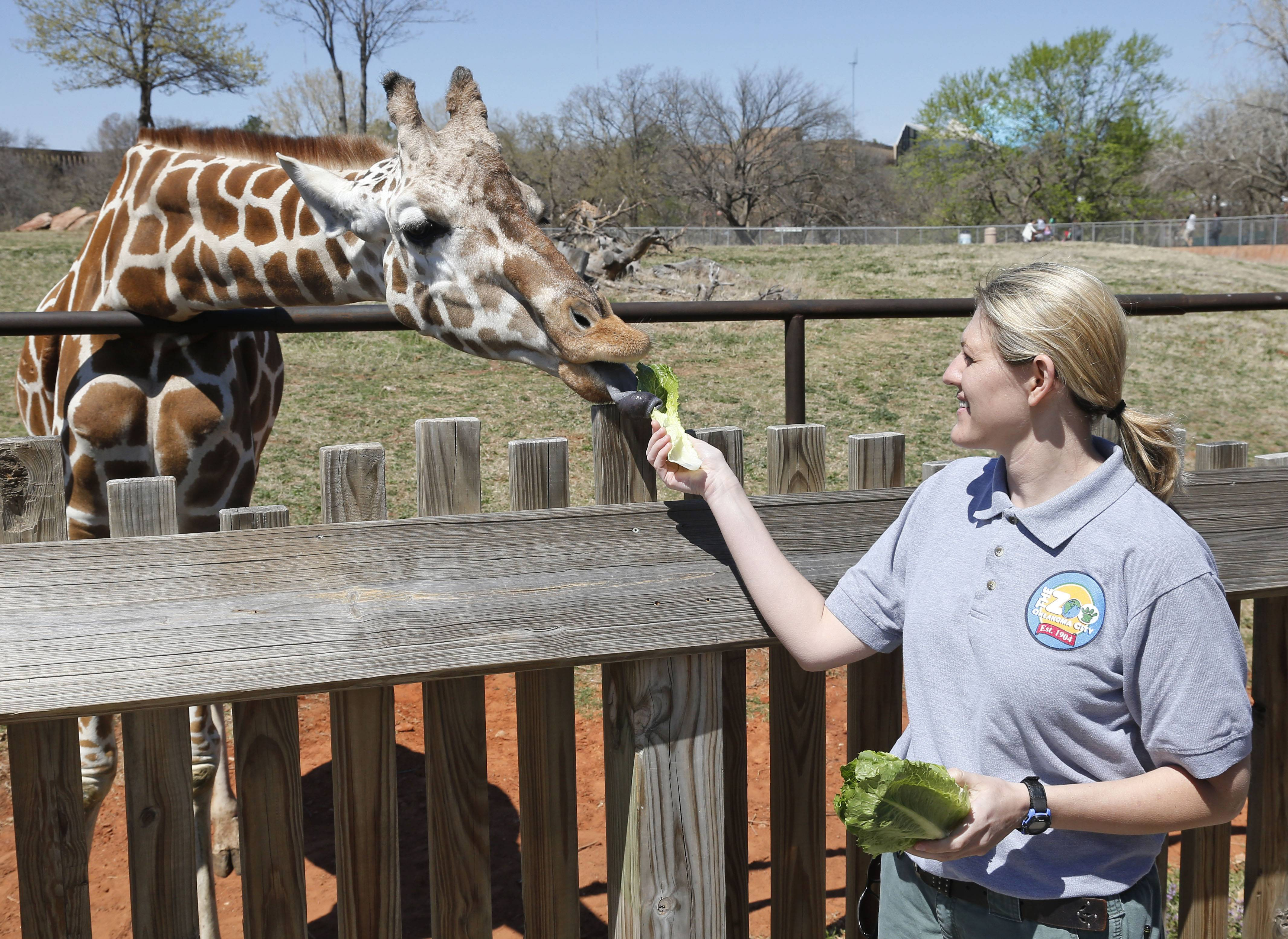 Dr. Gretchen Cole, associate veterinarian at the Oklahoma City Zoo, feeds Ellie, a giraffe at the zoo, in Oklahoma City, Friday, April 4, 2014. Ellie's six-month-old daughter, Kyah, will undergo a radical surgery early next week that Oklahoma State University veterinarians hope will save her life. Kyah will undergo surgery at Oklahoma State University to repair a vessel in her heart that has wrapped around her esophagus, making it difficult for her to eat solid foods, at a time when her mother is trying to wean her.