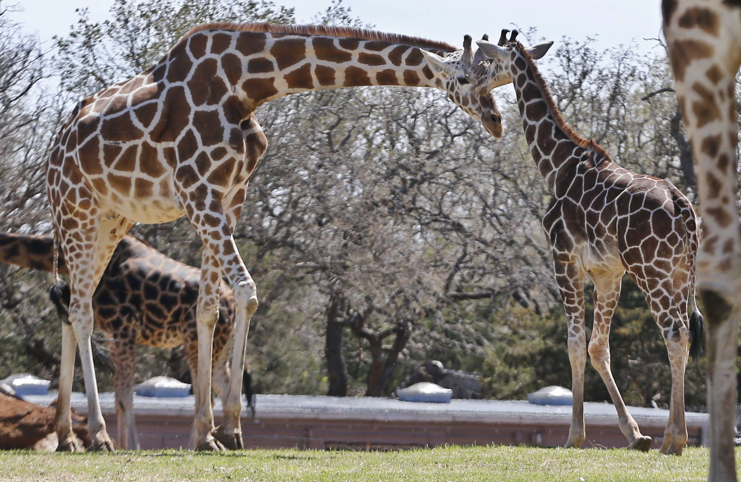 Six-month-old Kyah, a giraffe at the Oklahoma City Zoo, stands next to her mother, Ellie, at the zoo in Oklahoma City, Friday, April 4, 2014. Kyah will undergo surgery at Oklahoma State University to repair a vessel in her heart that has wrapped around her esophagus, making it difficult for her to eat solid foods, at a time when her mother is trying to wean her.