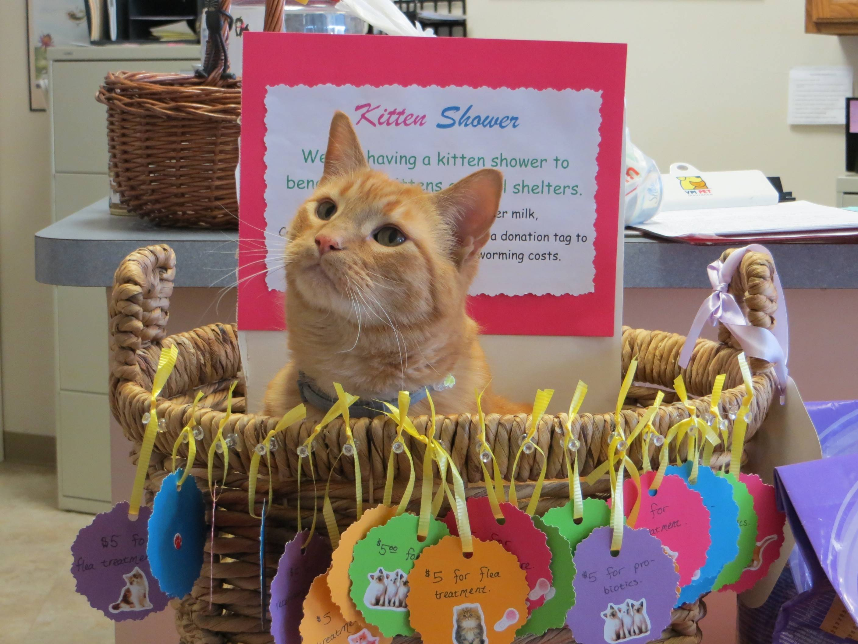 Leon, the Arlington Cat Clinic's resident feline, sits in the Kitten Shower donation basket asking for your donations to help shelter kittens.