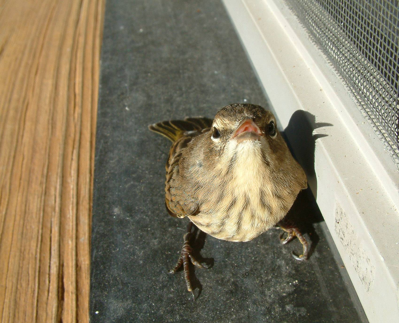 This was taken at a friends house near Apple Canyon Lake, Ill. This little bird flew into the window and was sitting stunned on the deck.  It didn't move for a few minutes, and I was able to get up close to take pictures.
