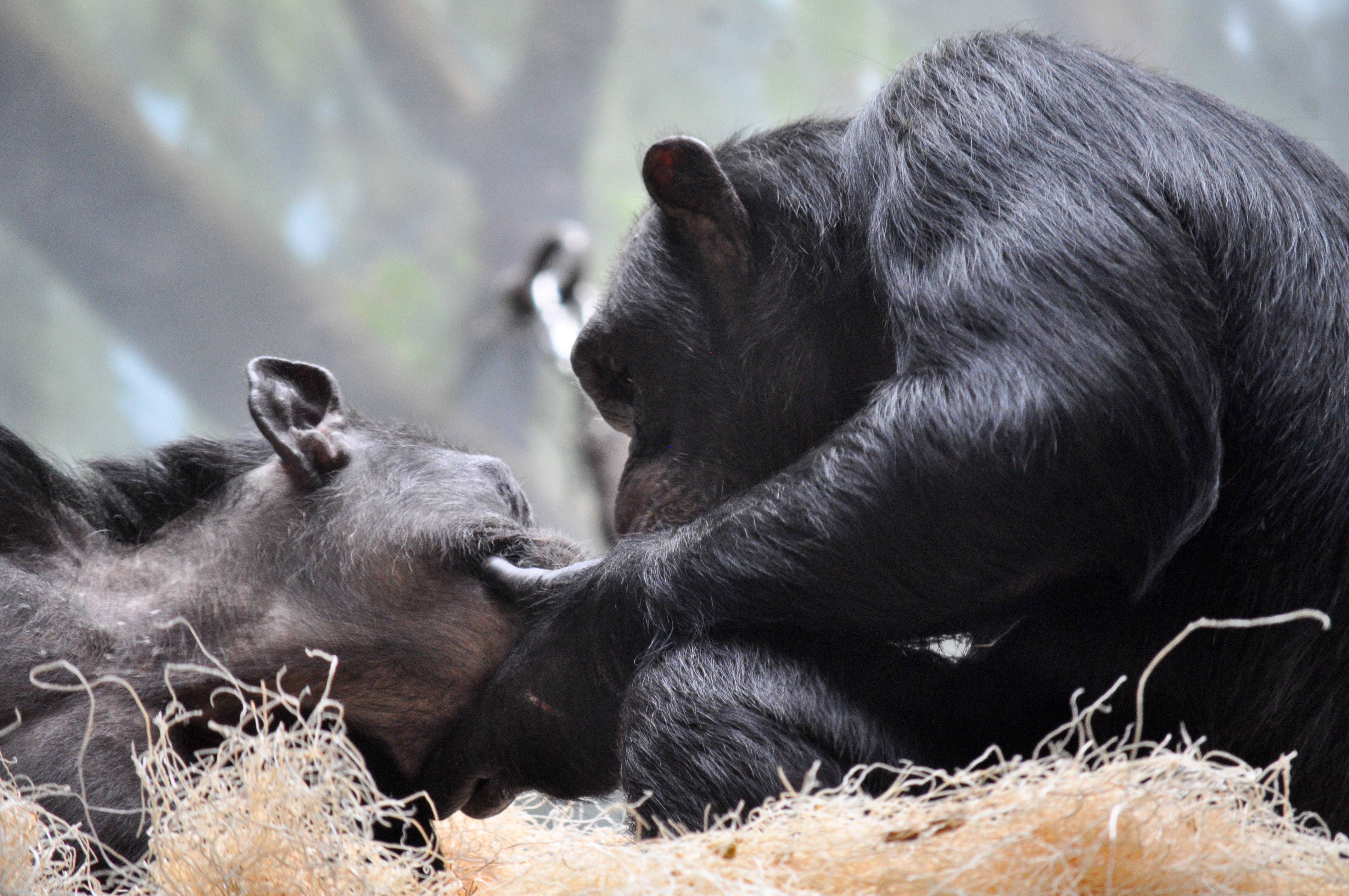 Two chimpanzee's comfort each other at Lincoln Park Zoo in Chicago.
