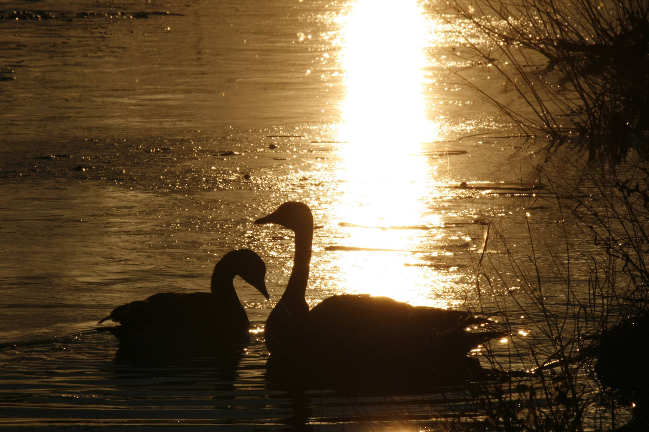 A pair of geese pair enjoy a swim in the setting sun last month in Buffalo Grove.