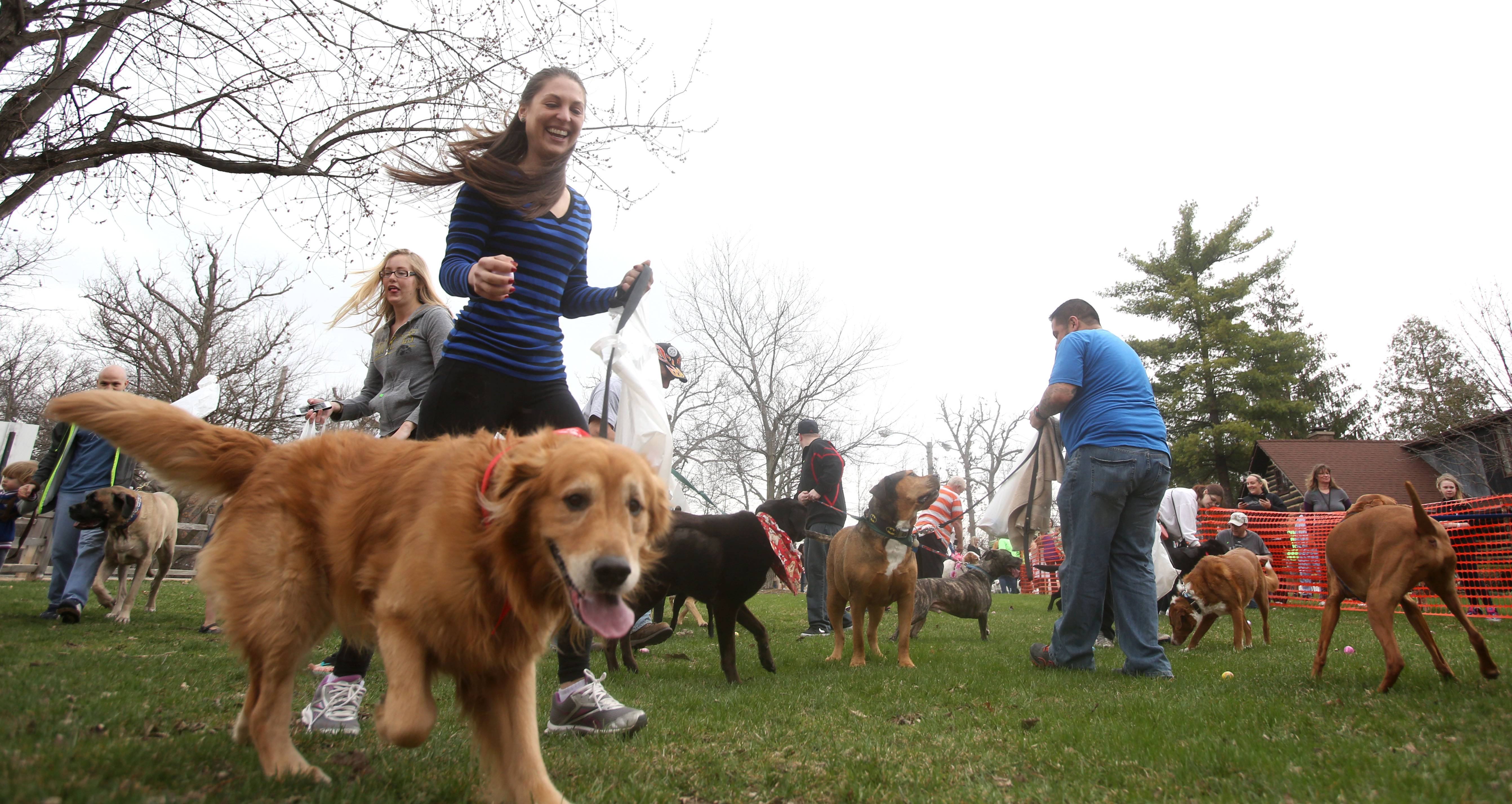 Close to 100 canines and their owner's went on the hunt Sunday for plastic eggs filled with dog treats and other goodies during the sixth annual Doggie Egg Hunt at the Cabin Nature Center White Oaks Dog Park in Wood Dale. Above, Debora Oliveira of Itasca and her dog Donovan, a Golden Retriever, search for eggs.