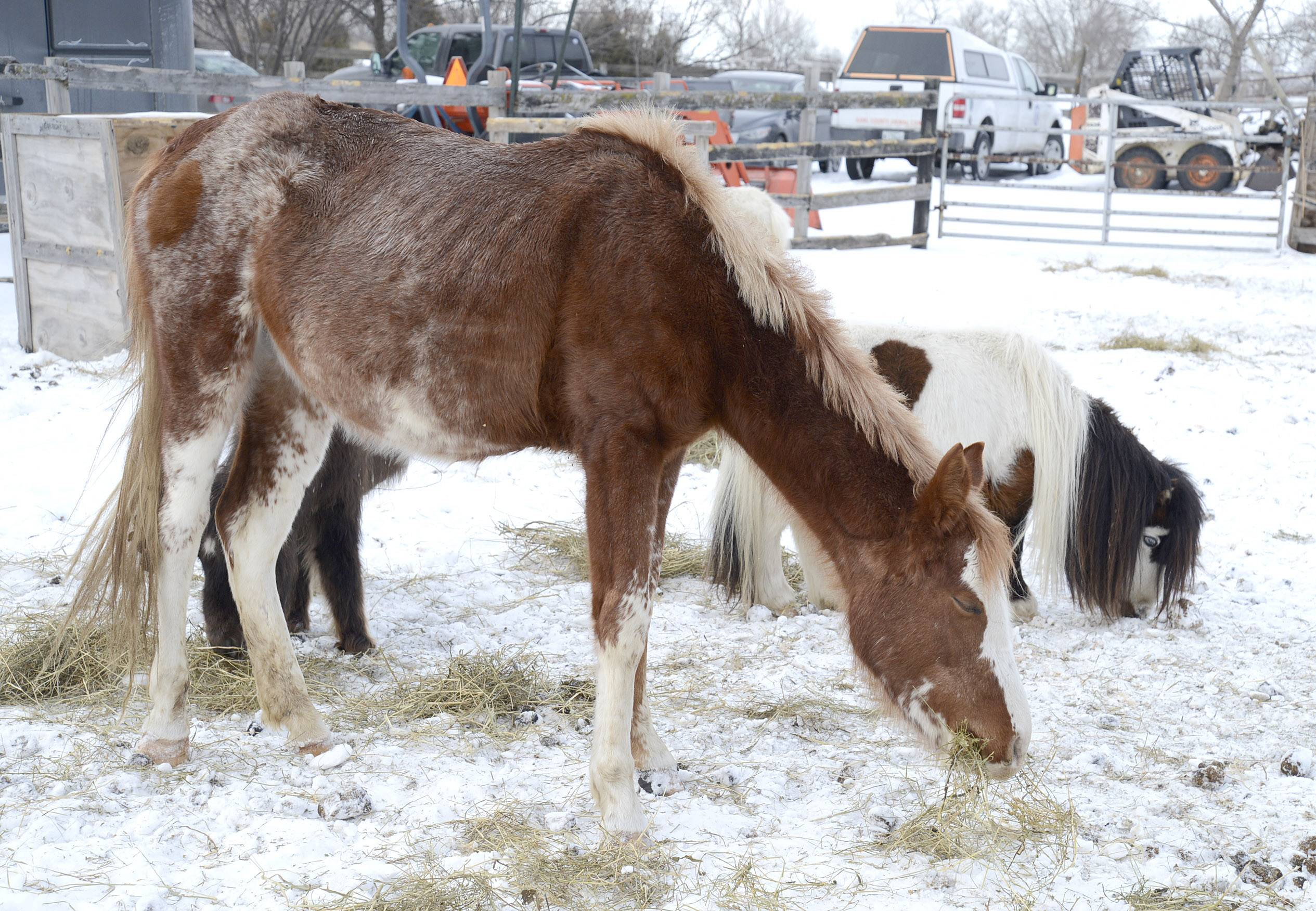 A horse feeds on hay on a Hampshire farm in March after Kane County Animal Control officials seized it and other animals from its owner, who has been charged with neglect and cruelty to animals.