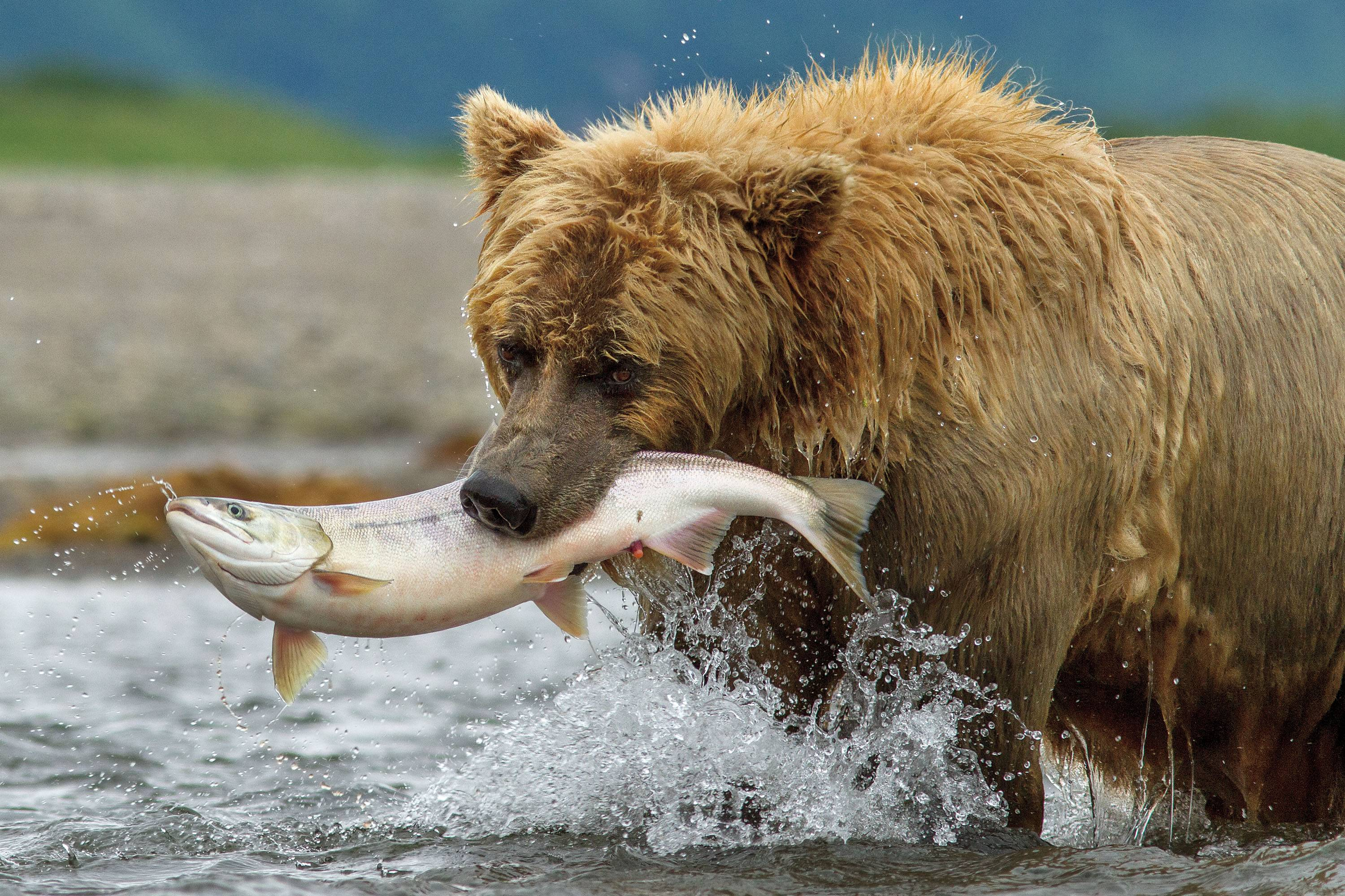 "A bear goes fishing for dinner in ""Bears."""