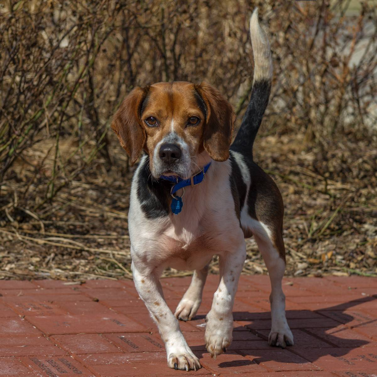 Snickers is a male, six-year-old Beagle, who weighs about 27 pounds. Snickers is seeking his forever home, could it be yours?