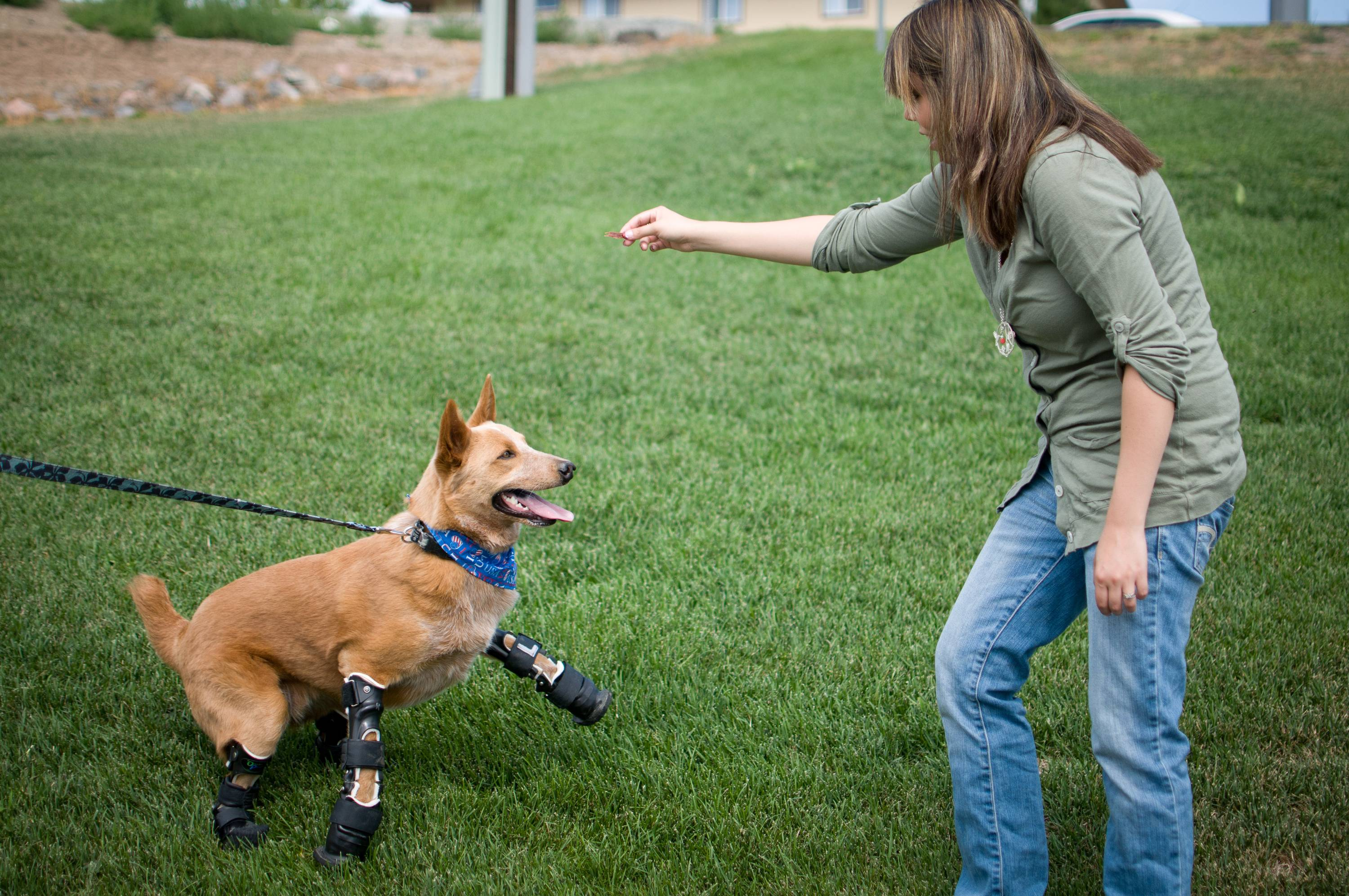 Veterinarian Christie Pace plays with Naki'o, a red heeler mix breed, the first dog to receive four prosthetic limbs. Naki'o was found in the cellar of a Nebraska foreclosed home with all four legs and its tail frozen in puddles of water-turned-ice. What frostbite didn't do, a surgeon did, amputating all four legs and giving him four prosthetics.