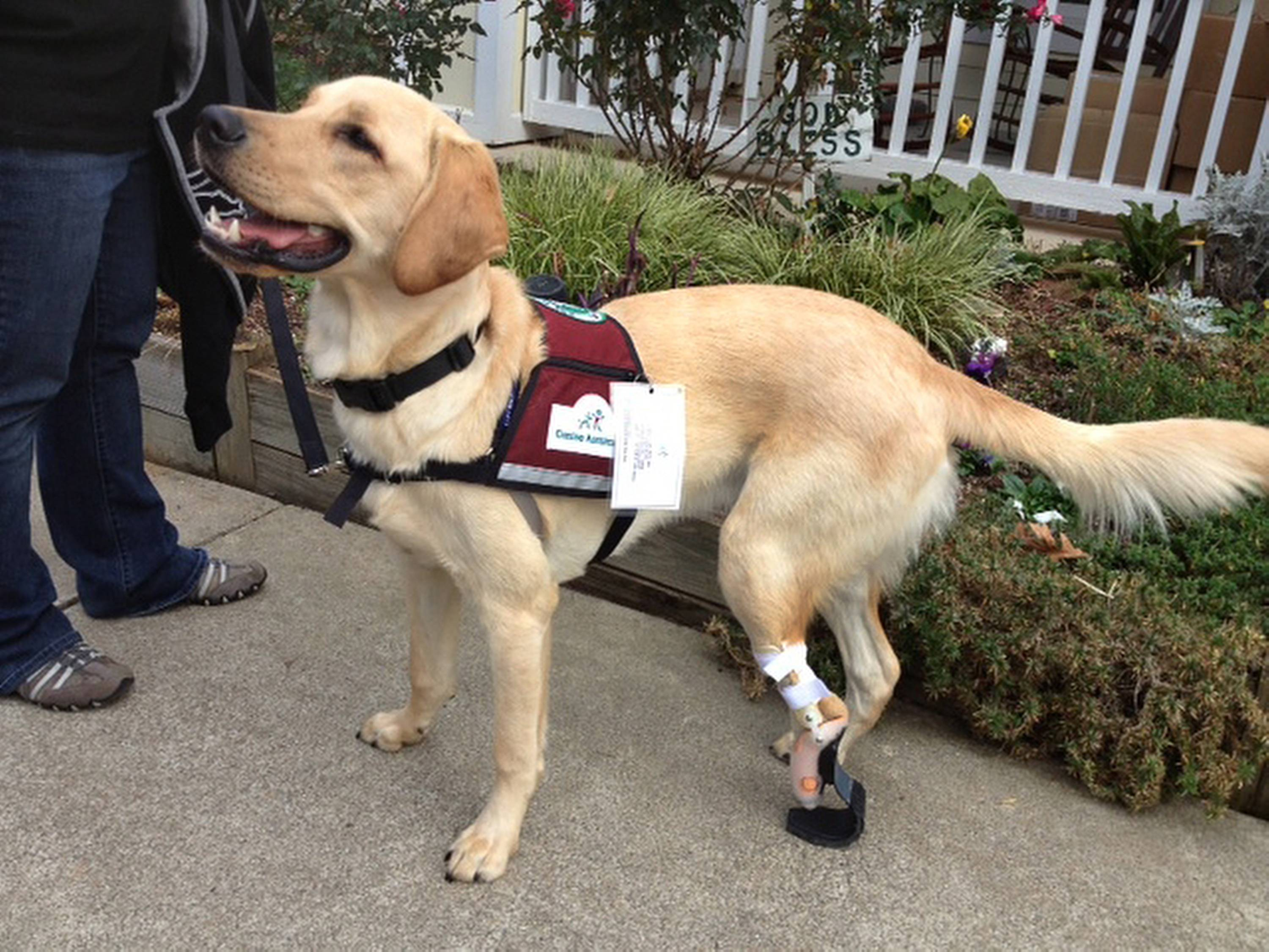 "Pirelli, a Labrador-golden retriever mix, was born with his umbilical cord wrapped around his back left leg so he never grew a paw. Pirelli uses a prosthetic limb, and with it is a ""happy, expressive dog, able to run and play, retrieve things and eat his food,"" said Dudley Arnold, Pirelli's handler."