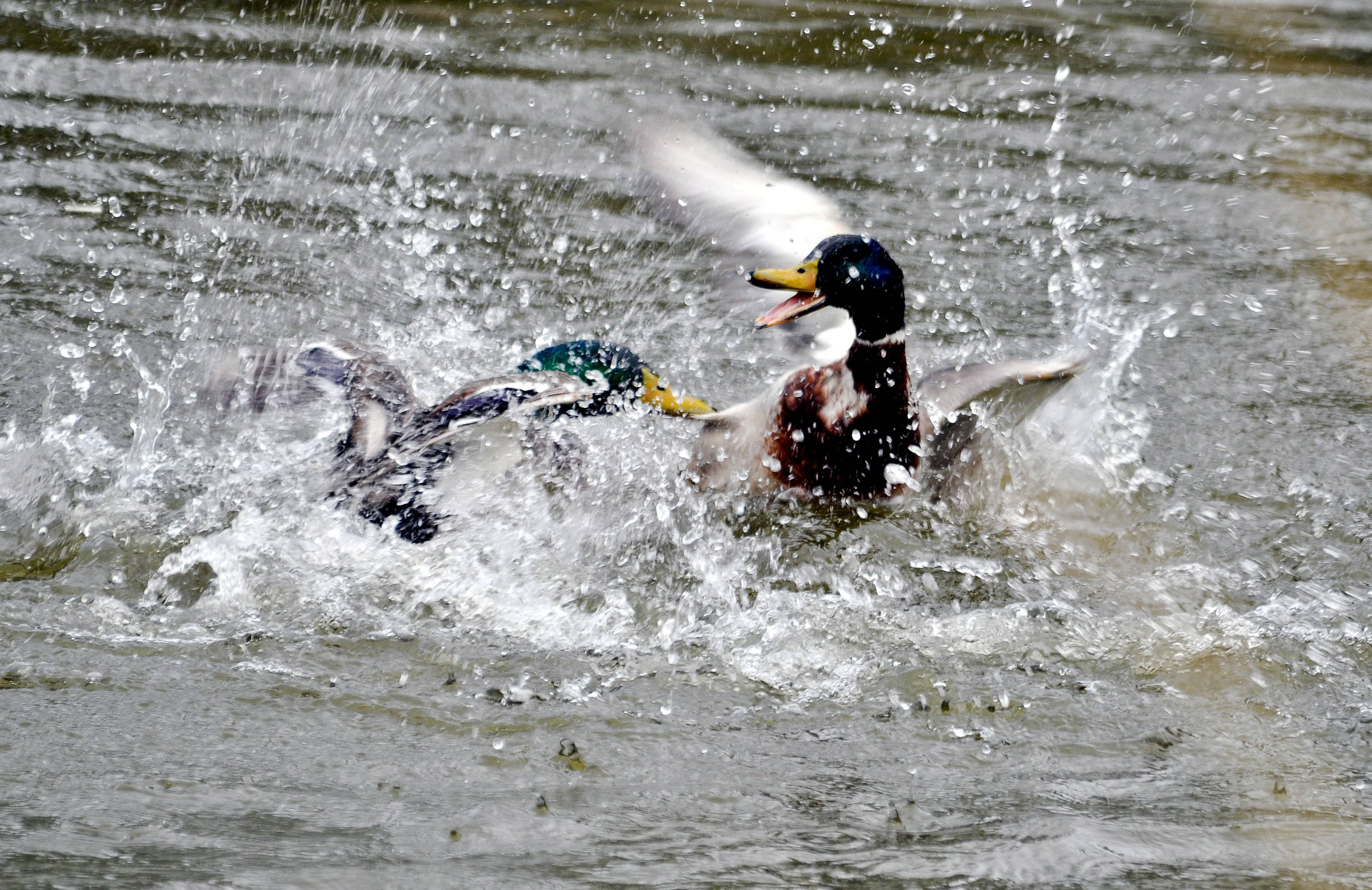 Two ducks fight for the attention of a female in a Buffalo Grove pond.