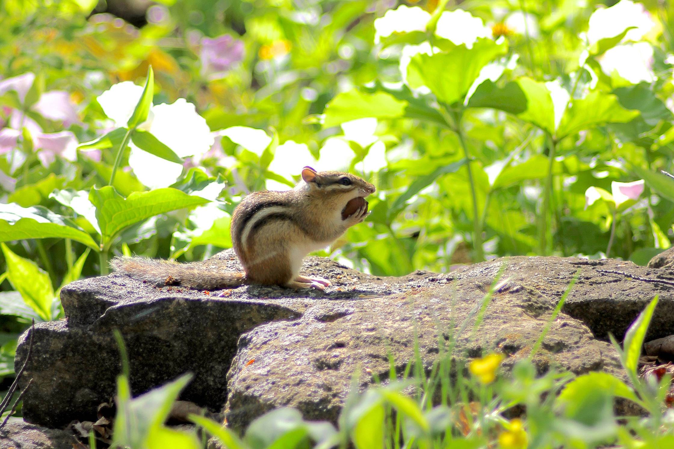 A chipmunk eats a big morsel for breakfast while scampering through the trillium last May in Door County, Wis.