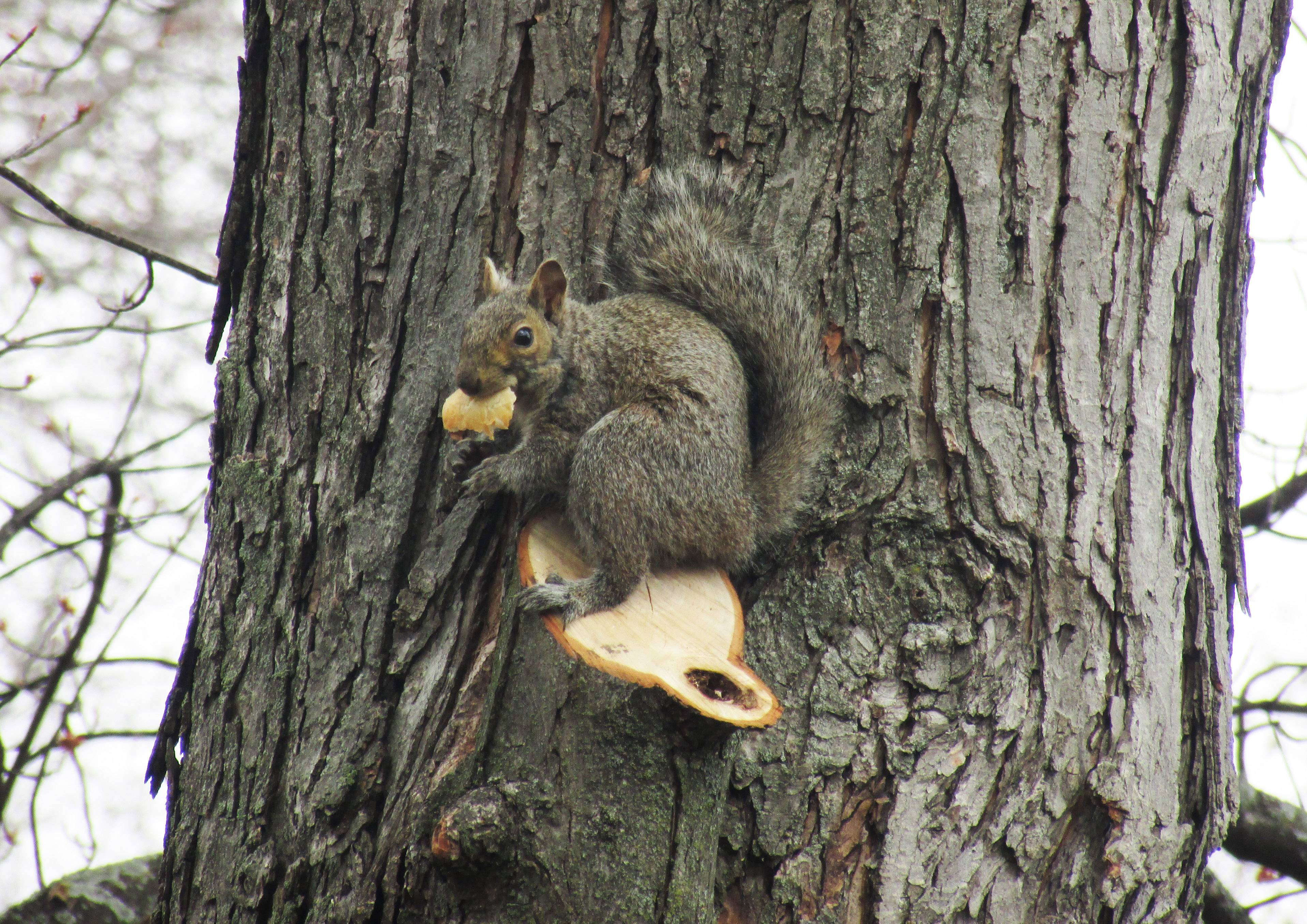 A squirrel sits on the side of a tree and eats a piece of food in Round Lake Beach.