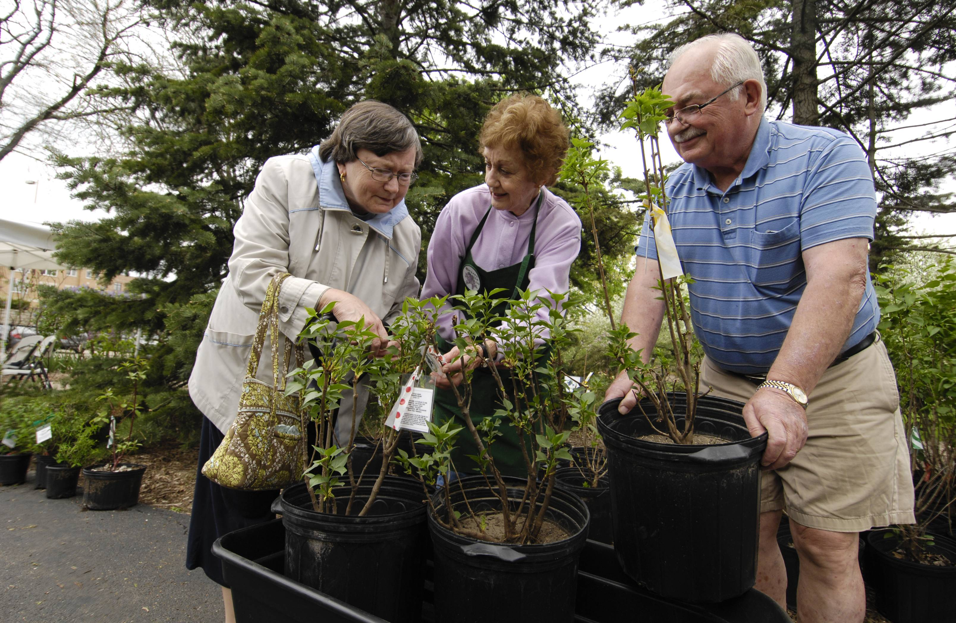 The Lombard Garden Club helps residents bring a bit of the Lilac Festival to their own yards with an annual a lilac sale.