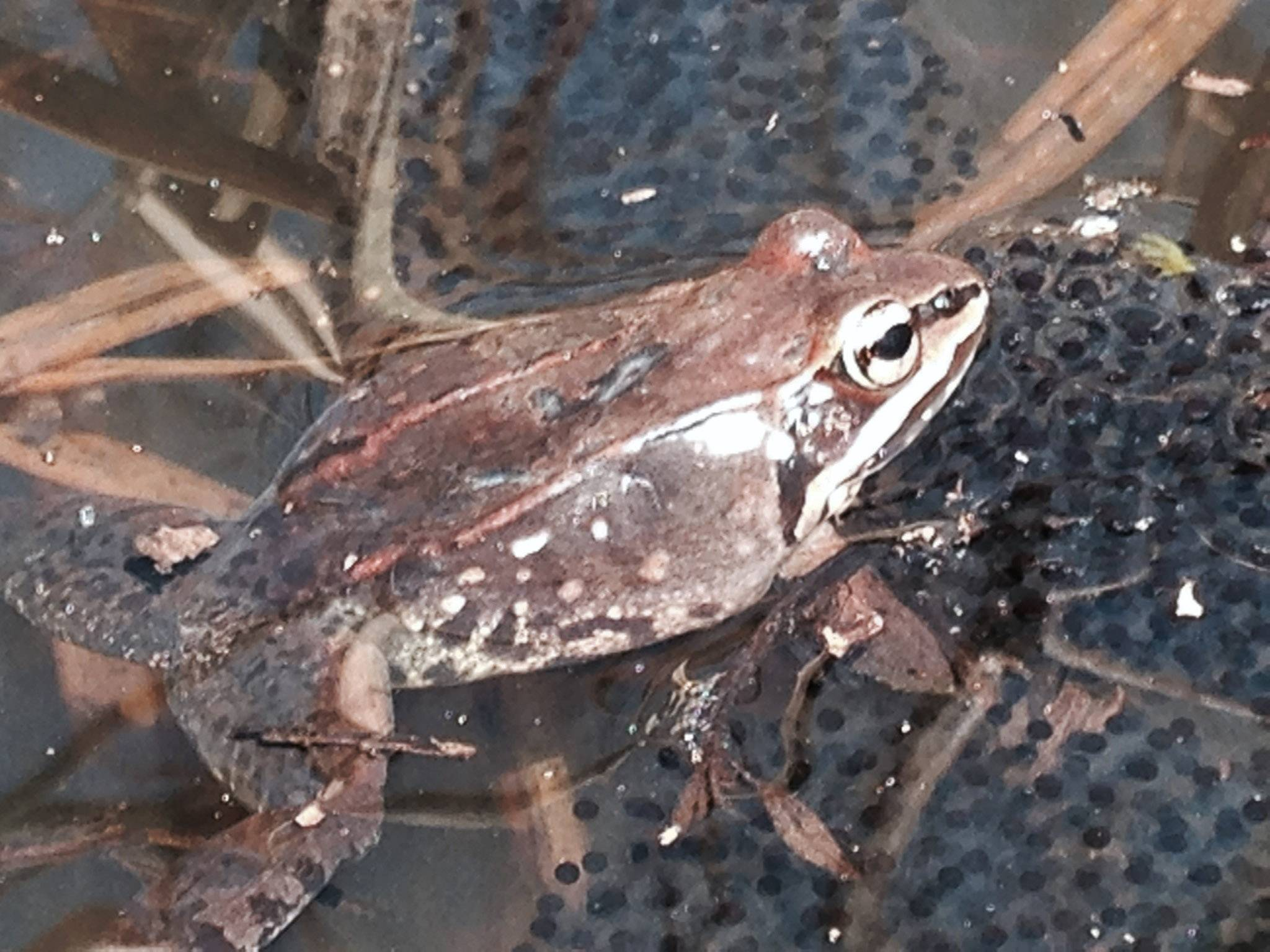 Courtesy of Lake County Forest Preserve DistrictA wood frog with eggs.