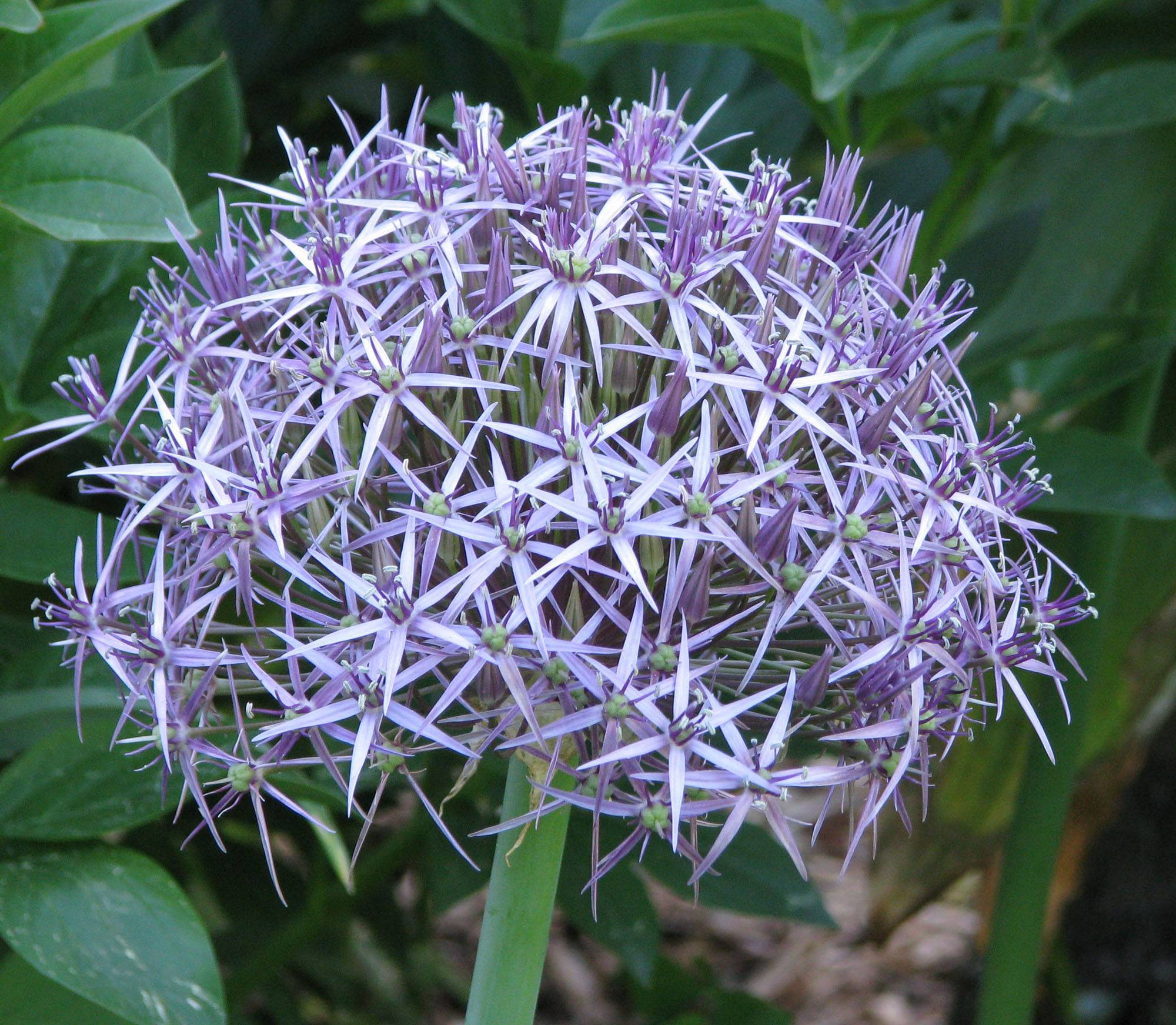 Flowering onions -- alliums -- mostly appear as pastel pompoms atop slender stalks. Plant this ornamental onion for beauty and not for eating by deer or humans.