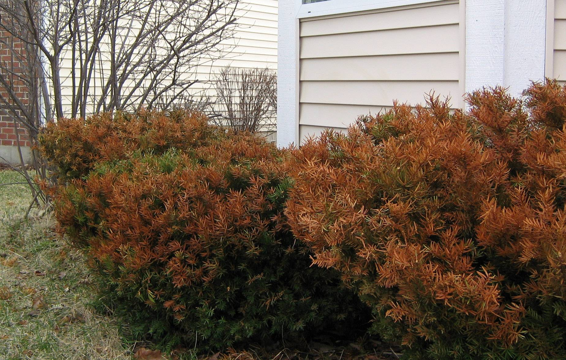 Experts say to give evergreens time to see if they recover from winter burn. Evergreens were one of the few tree species significantly harmed by this year's brutal winter.