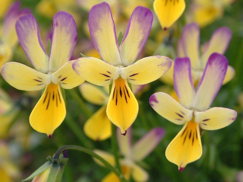 Hip Hop Honeybunny, a new type of viola to try in 2014, is only available at independent garden centers.