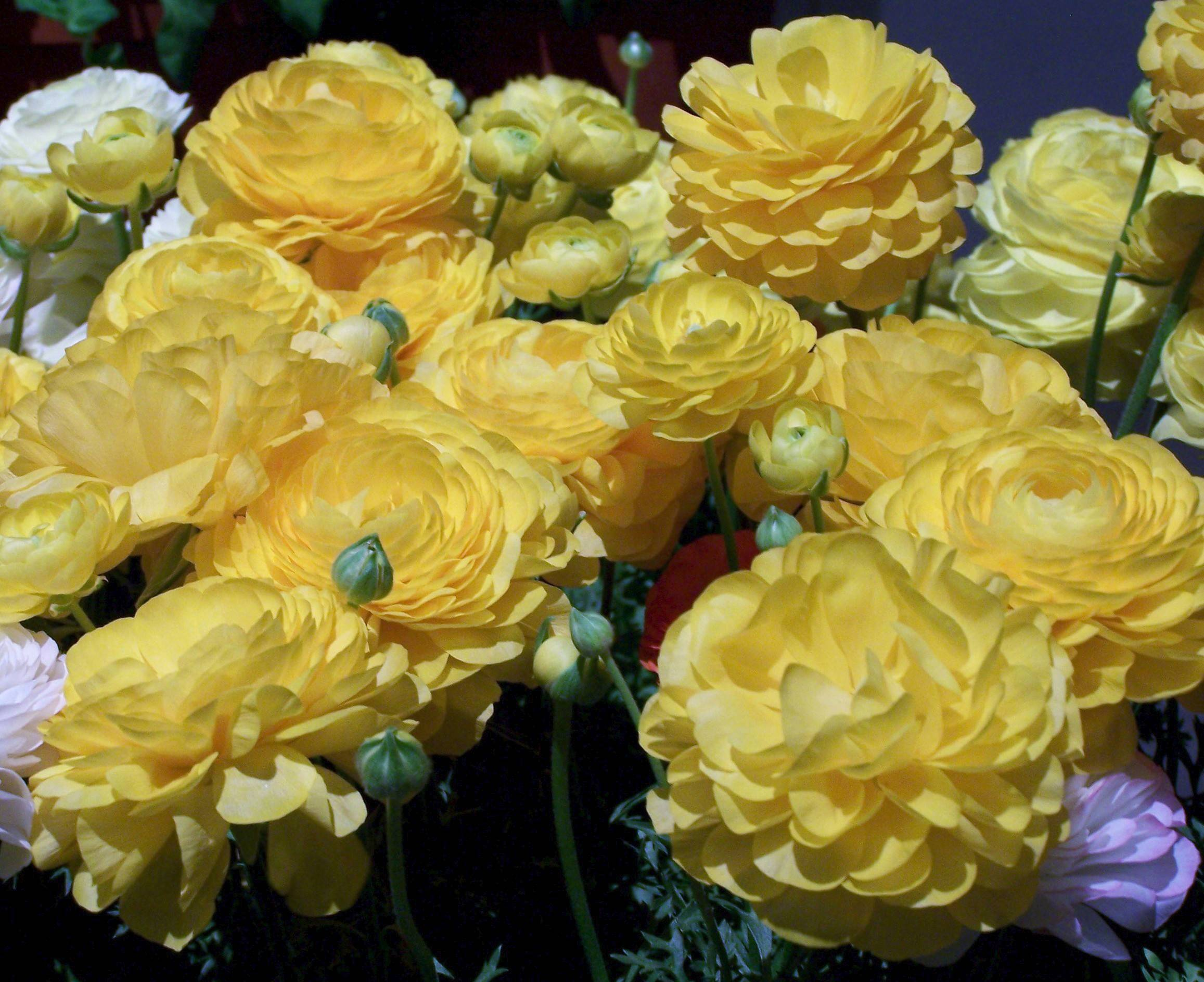 Ranunculus flowers can last a long time in the garden or in a bouquet.
