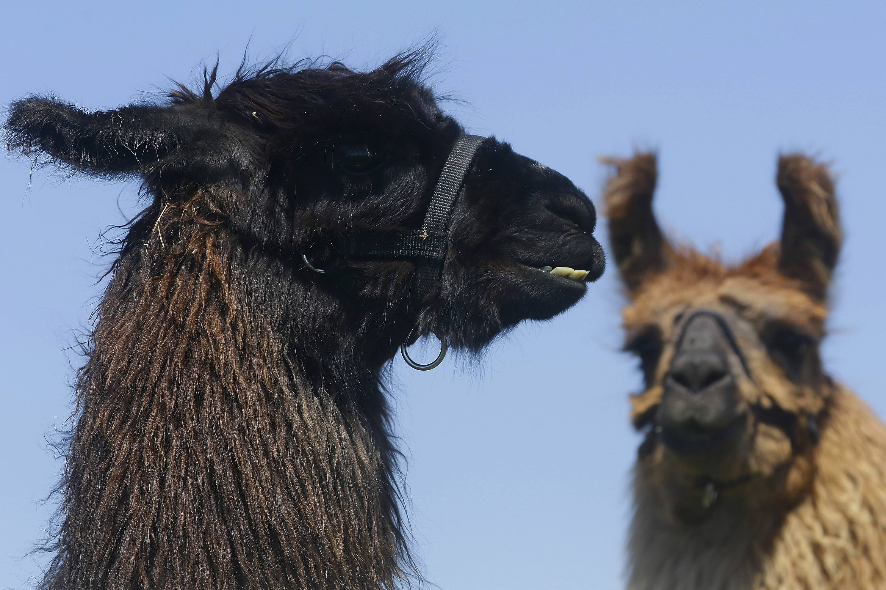 Llamas greet the media during a press preview at the Illinois State Fairgrounds on Tuesday in Springfield.